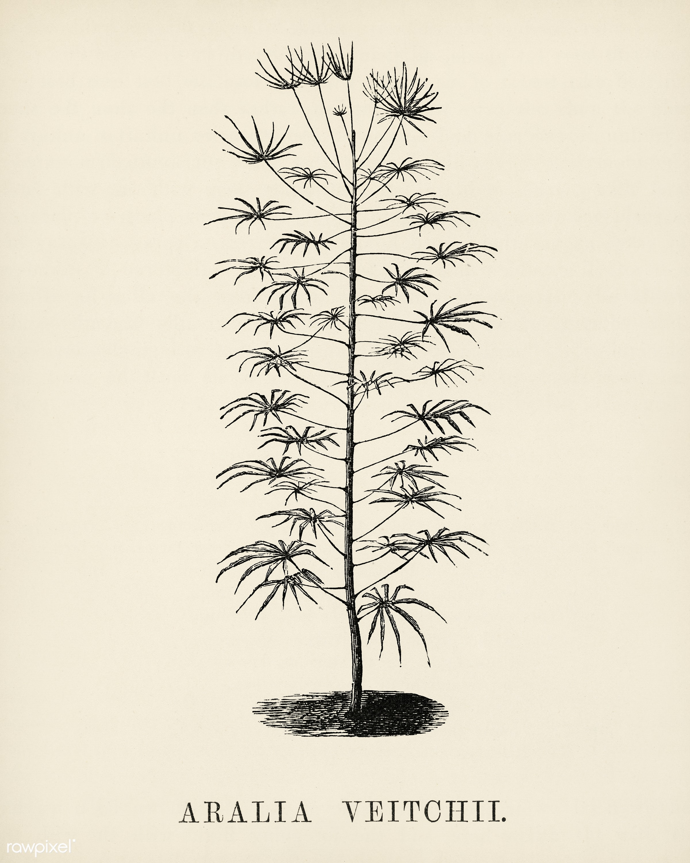 Aralia Vetchii engraved by Benjamin Fawcett (1808-1893) for Shirley Hibberd's (1825-1890) New and Rare Beautiful-...
