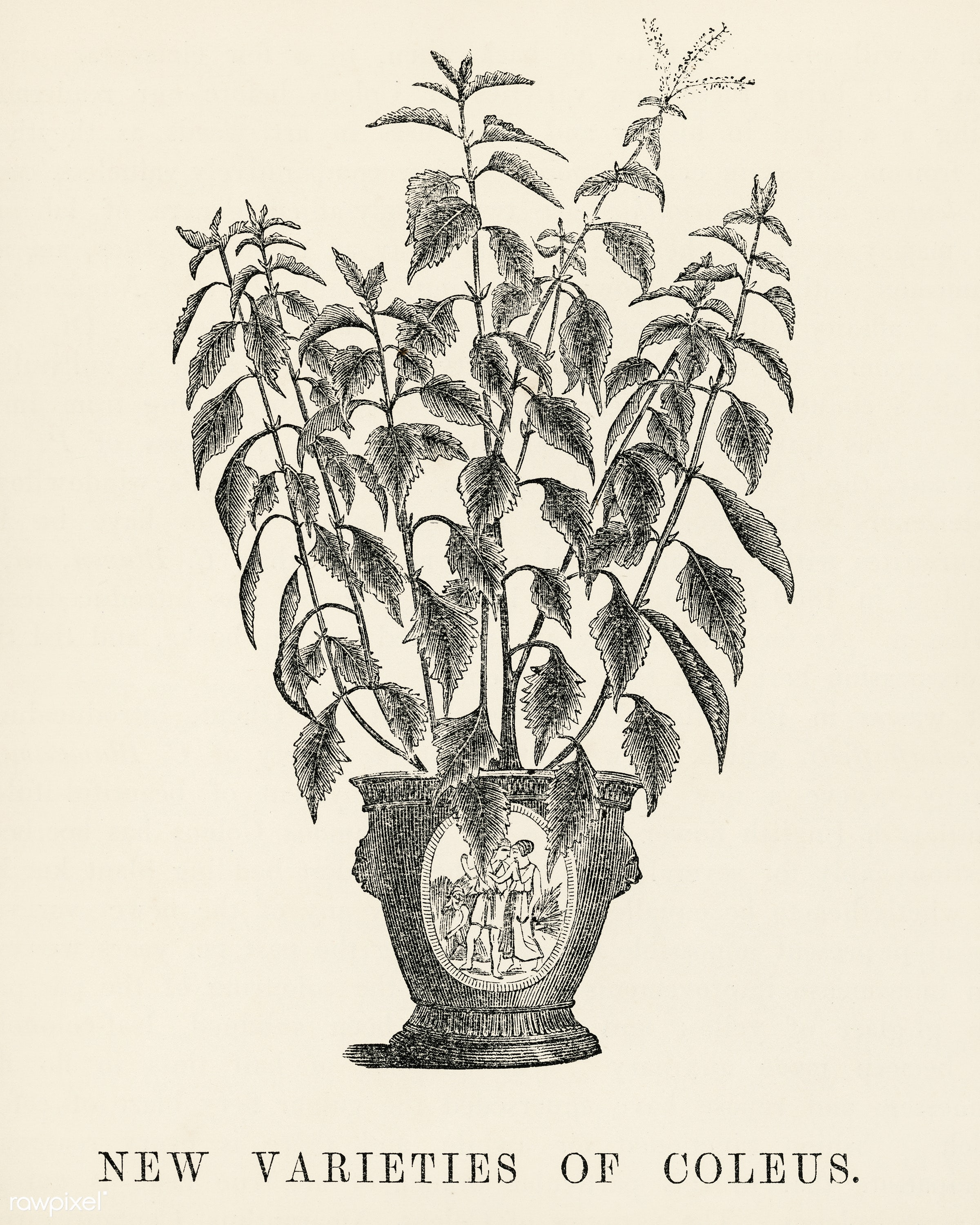 New varieties of coleus engraved by Benjamin Fawcett (1808-1893) for Shirley Hibberd's (1825-1890) New and Rare...