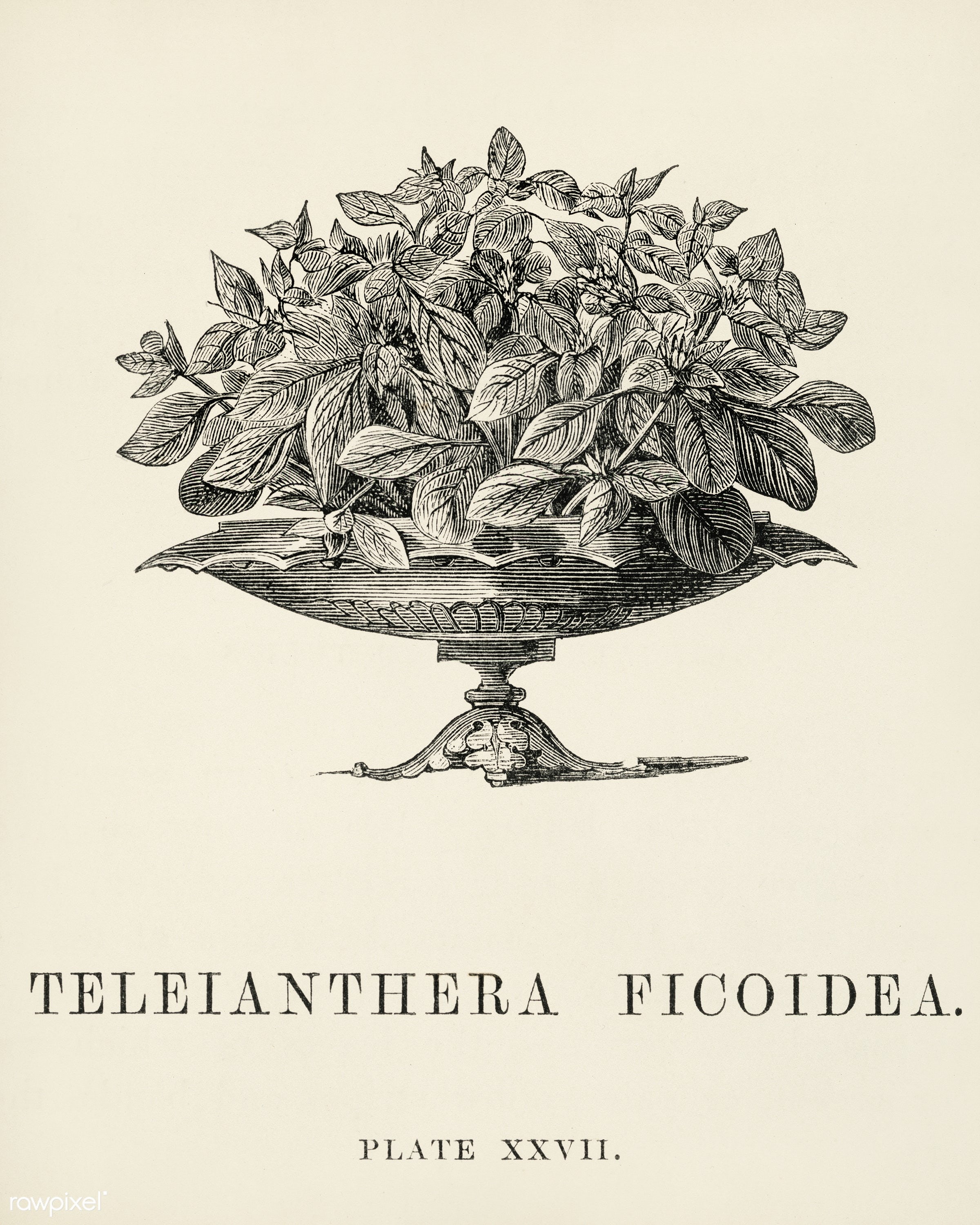 Teleianthera Ficoidea engraved by Benjamin Fawcett (1808-1893) for Shirley Hibberd's (1825-1890) New and Rare...