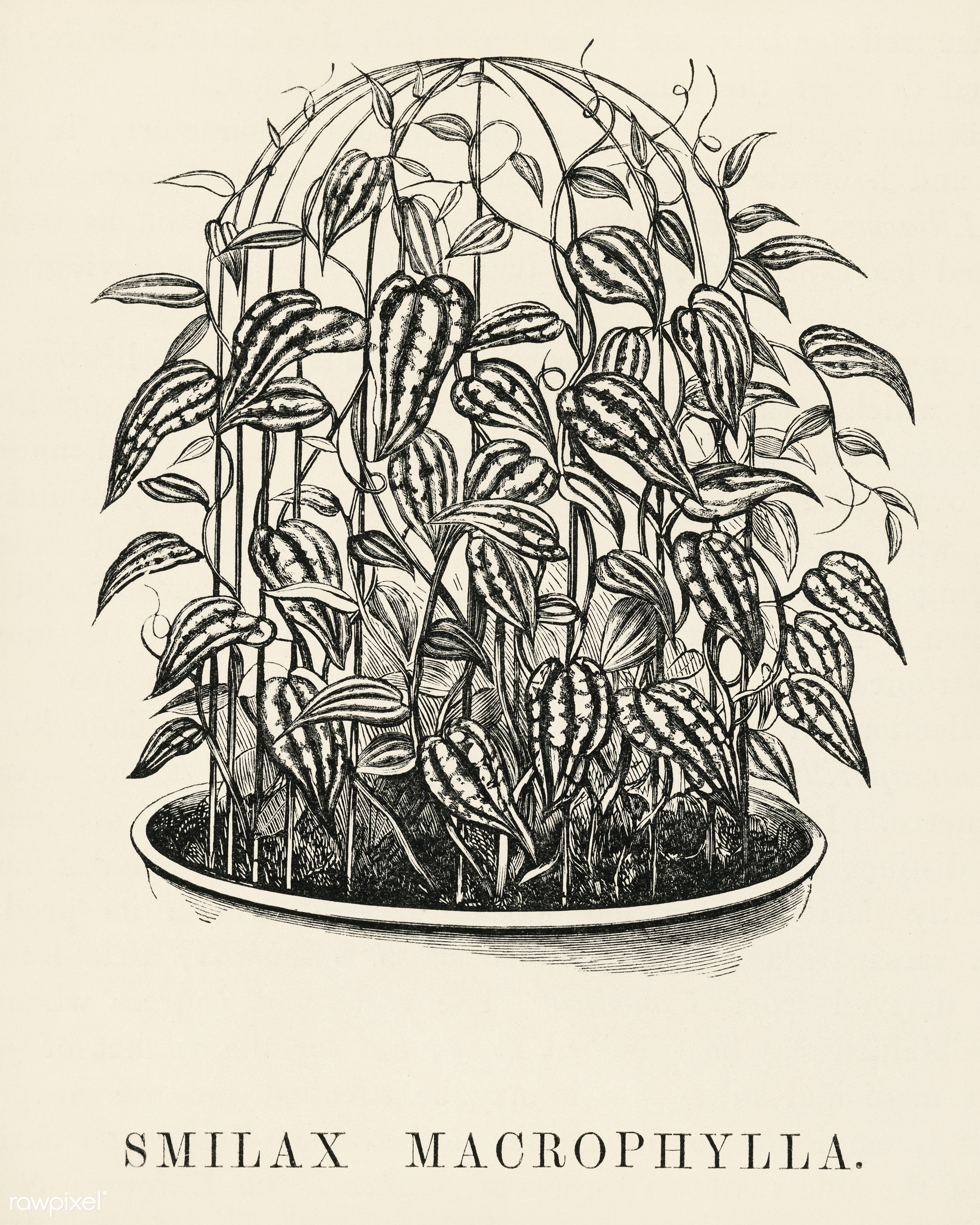 Catbriers (Smilax Macrophylla) engraved by Benjamin Fawcett (1808-1893) for Shirley Hibberd's (1825-1890) New and Rare...