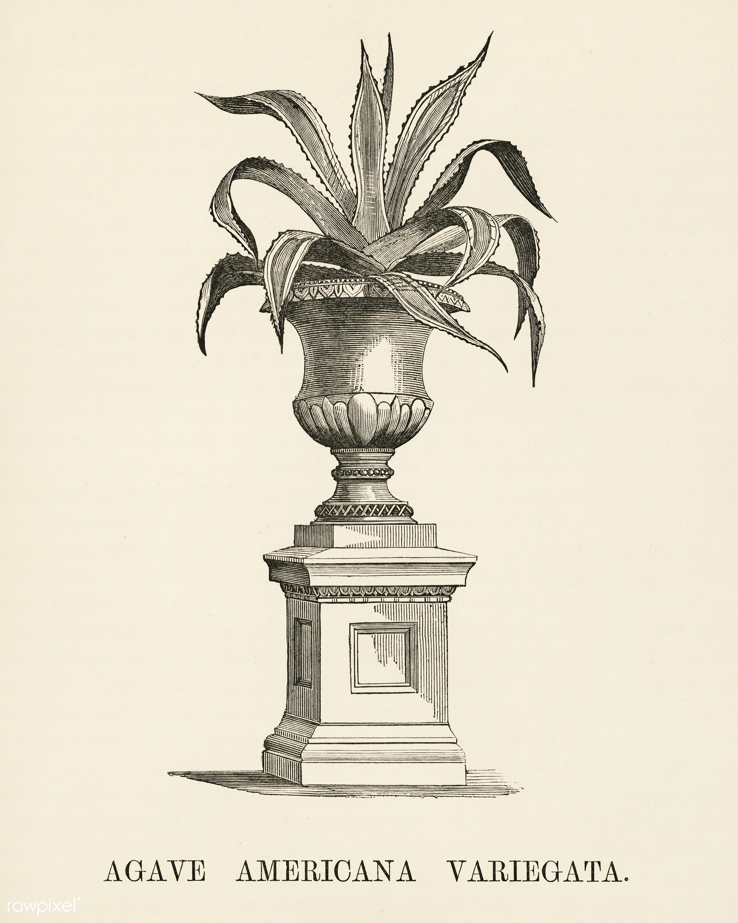 American Aloe (Agave Americana Variegata) engraved by Benjamin Fawcett (1808-1893) for Shirley Hibberd's (1825-1890)...