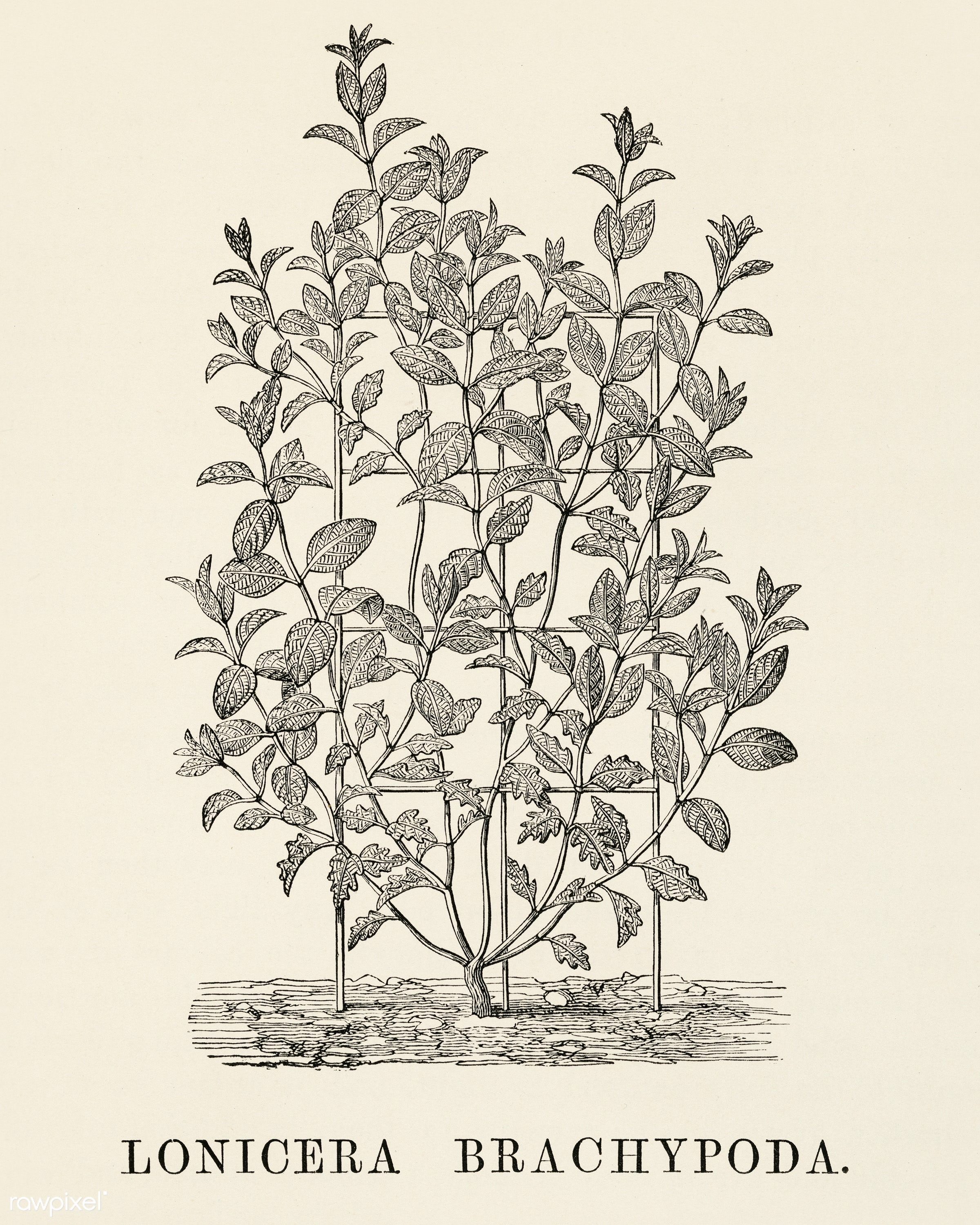 Lonicera Brachypoda engraved by Benjamin Fawcett (1808-1893) for Shirley Hibberd's (1825-1890) New and Rare Beautiful-...