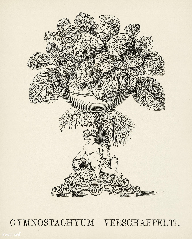 Nerve Plant (Gymnostachyum Verschaffeltii) engraved by Benjamin Fawcett (1808-1893) for Shirley Hibberd's (1825-1890)...