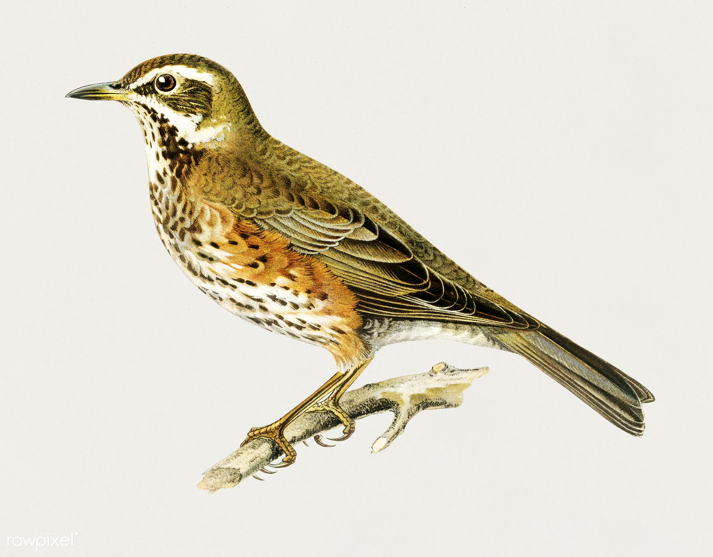 Redwing (Turdus iliacus) illustrated by the von Wright brothers. Digitally enhanced from our own 1929 folio version of...
