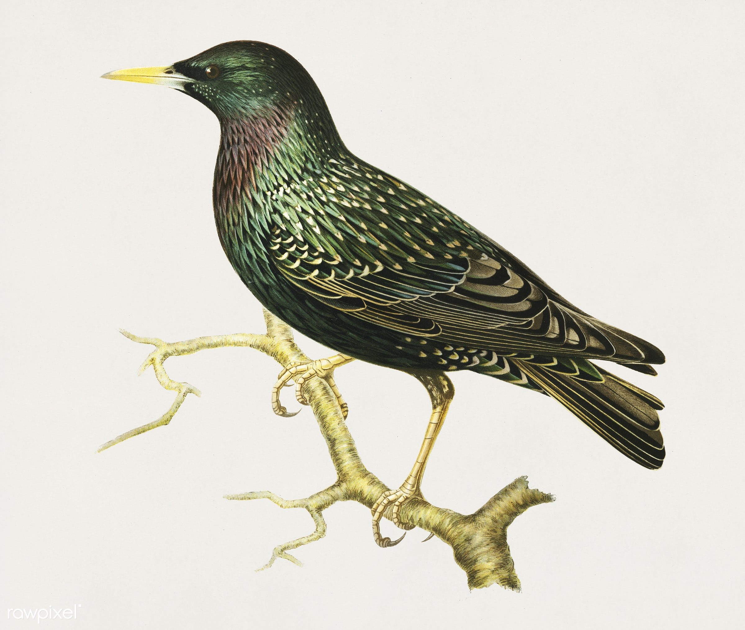 European Starling (Sturnus vulgaris) illustrated by the von Wright brothers. Digitally enhanced from our own 1929 folio...