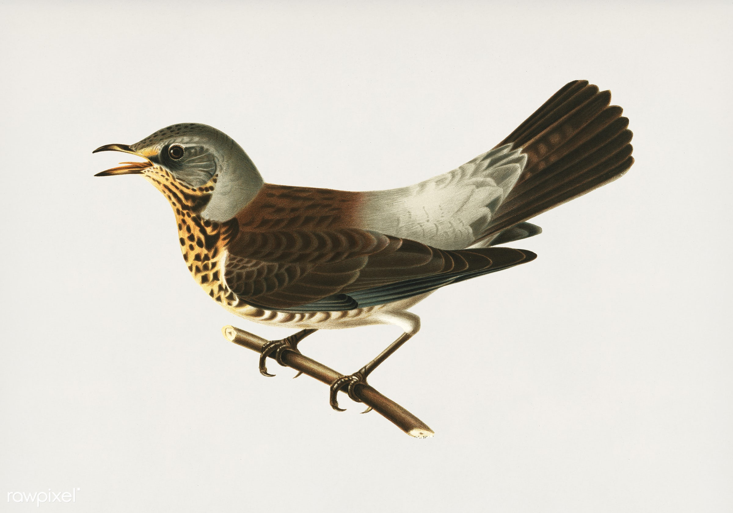 Fieldfare (Turdus pilaris) illustrated by the von Wright brothers. Digitally enhanced from our own 1929 folio version of...