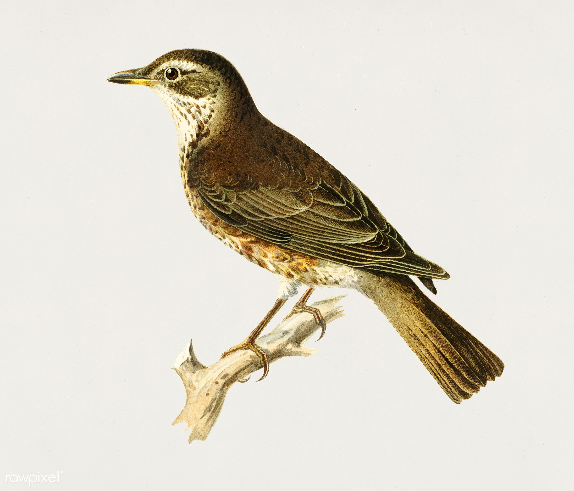 Redwing (Turdus iliacus x turdus pilaris) illustrated by the von Wright brothers. Digitally enhanced from our own 1929 folio...