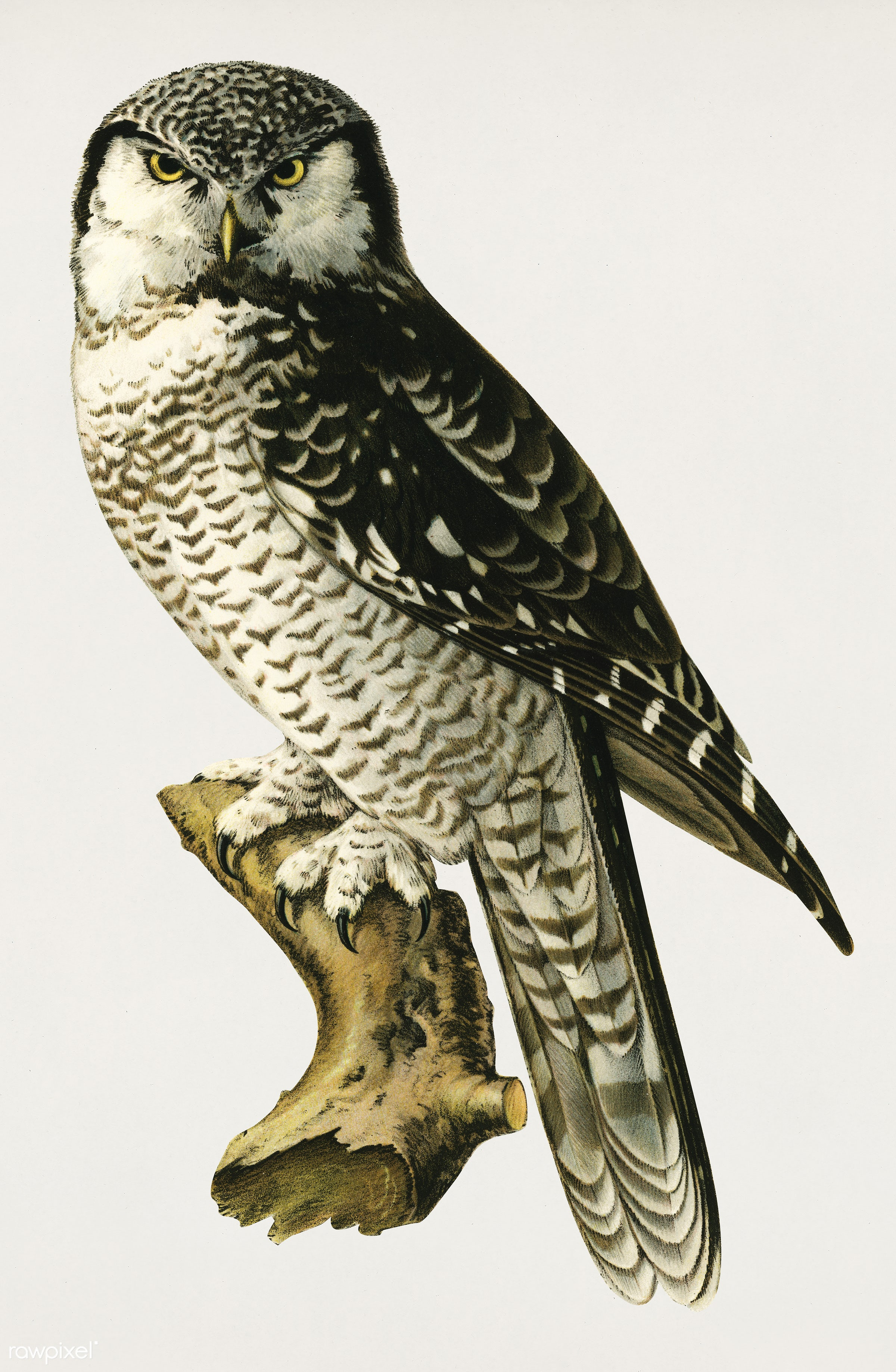 Northern hawk-owl (SURNIA ULULA) illustrated by the von Wright brothers. Digitally enhanced from our own 1929 folio version...