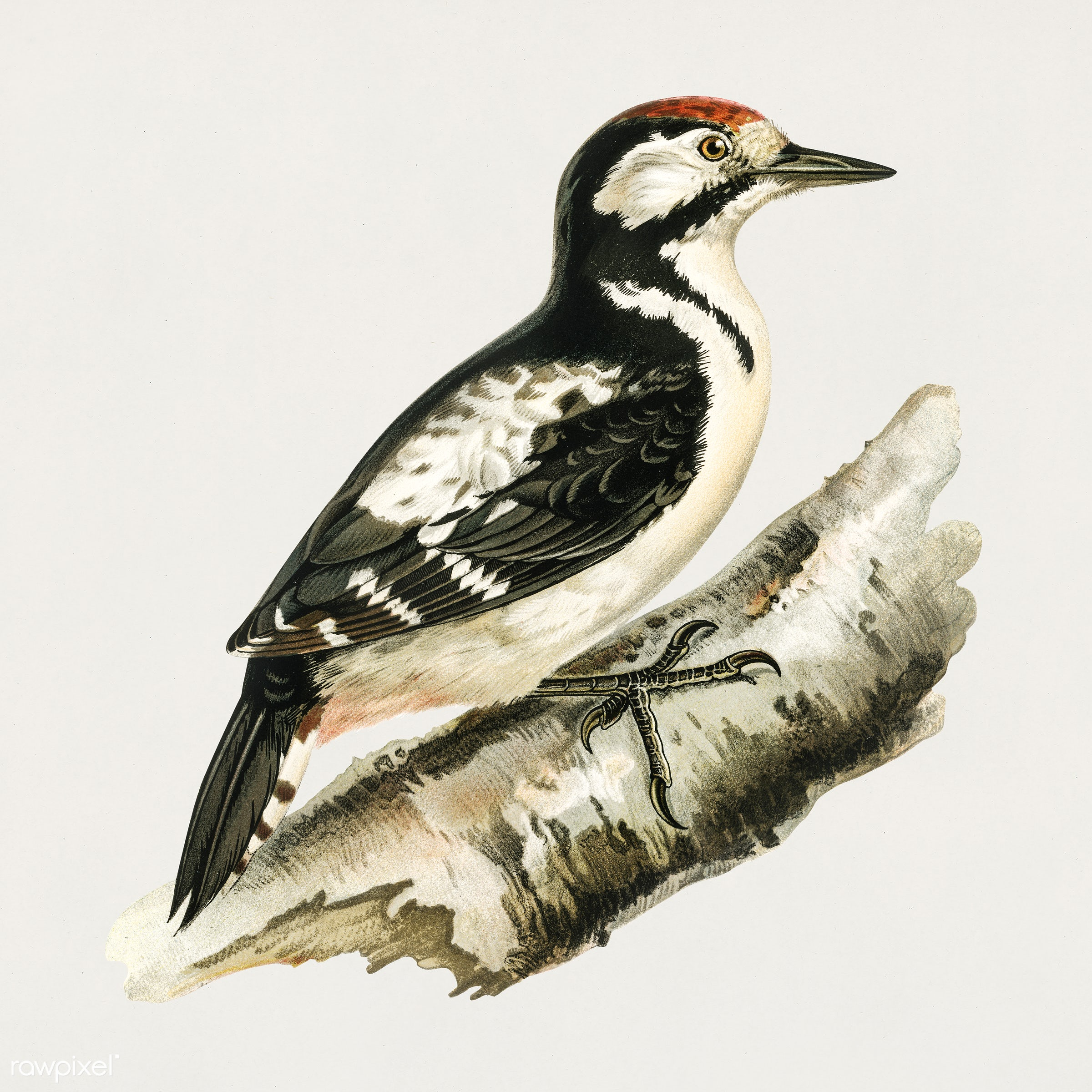 Great spotted woodpecker (Dendrocopos major) illustrated by the von Wright brothers. Digitally enhanced from our own 1929...