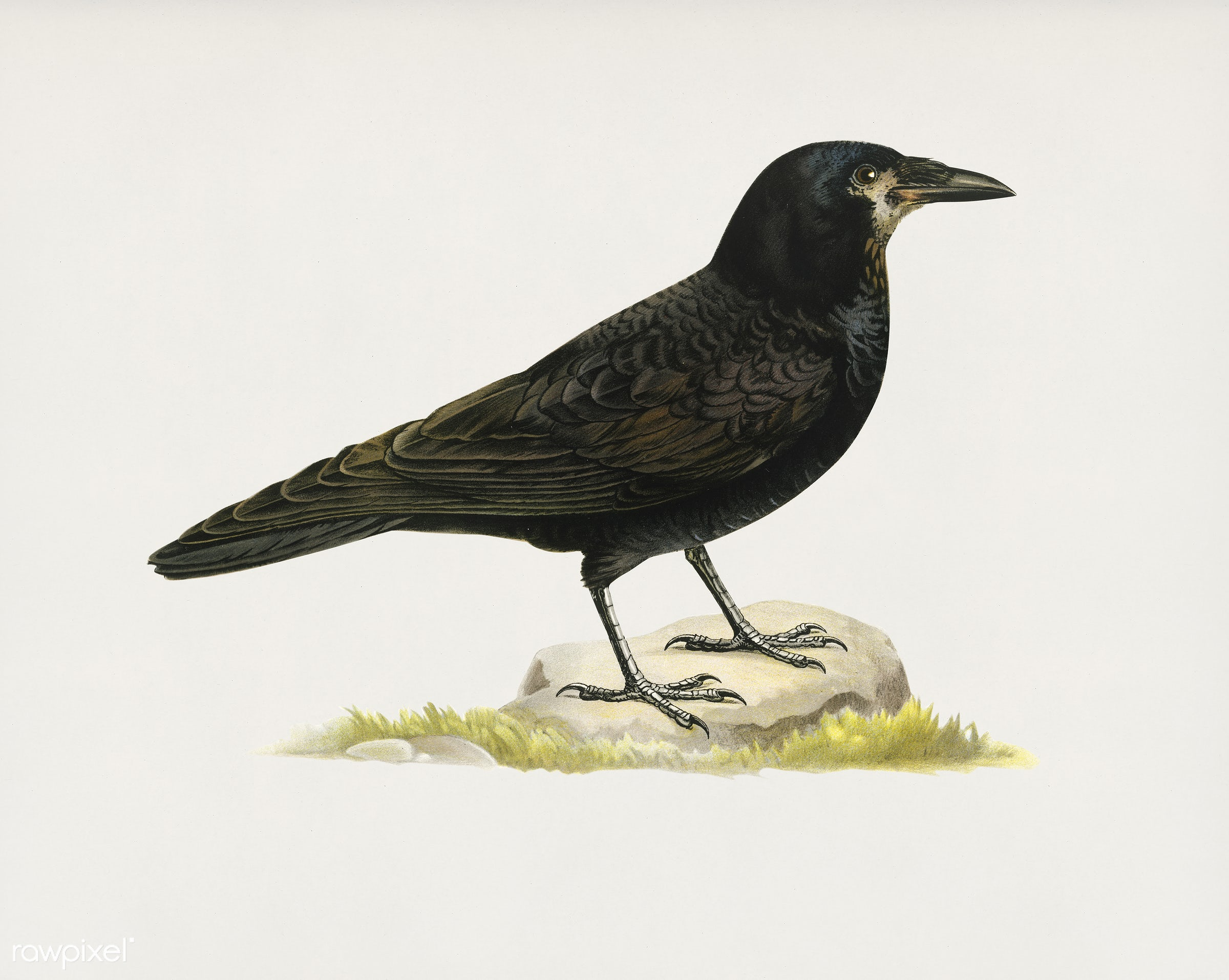 Rook (Corvus Frugilegus) illustrated by the von Wright brothers. Digitally enhanced from our own 1929 folio version of...