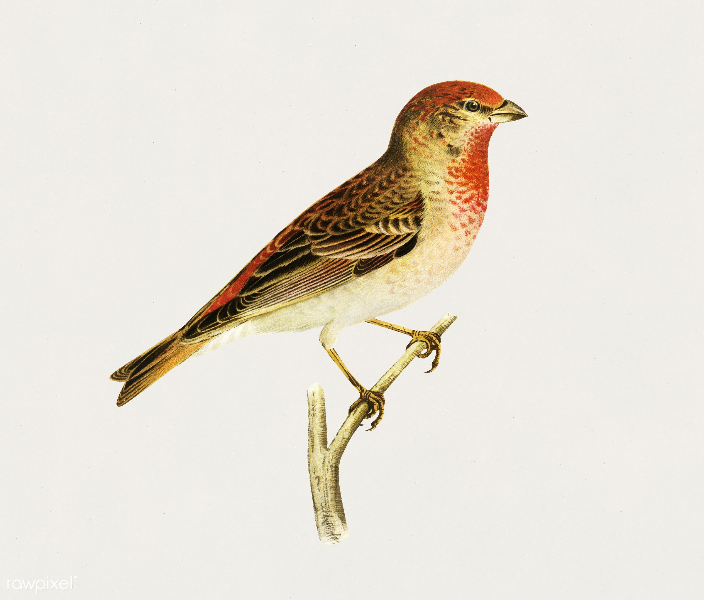 Common rosefinch male (Carpodacus erythrinus) illustrated by the von Wright brothers. Digitally enhanced from our own 1929...