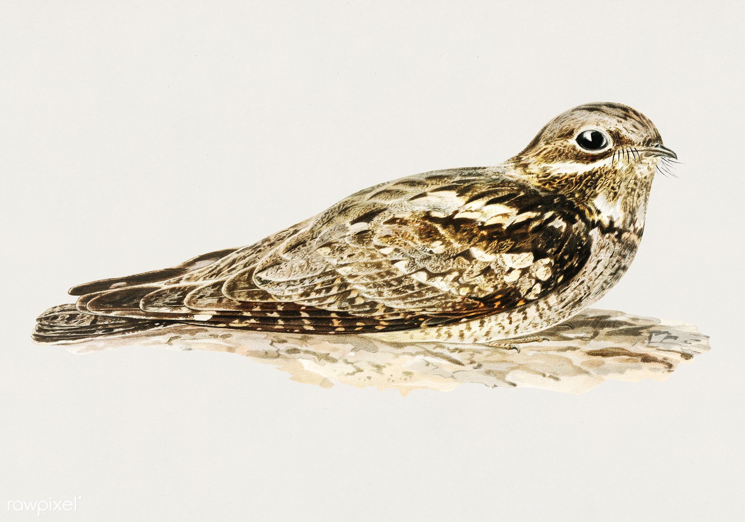 European nightjar (CAPRIMULGUS EUROPAEUS) illustrated by the von Wright brothers. Digitally enhanced from our own 1929 folio...
