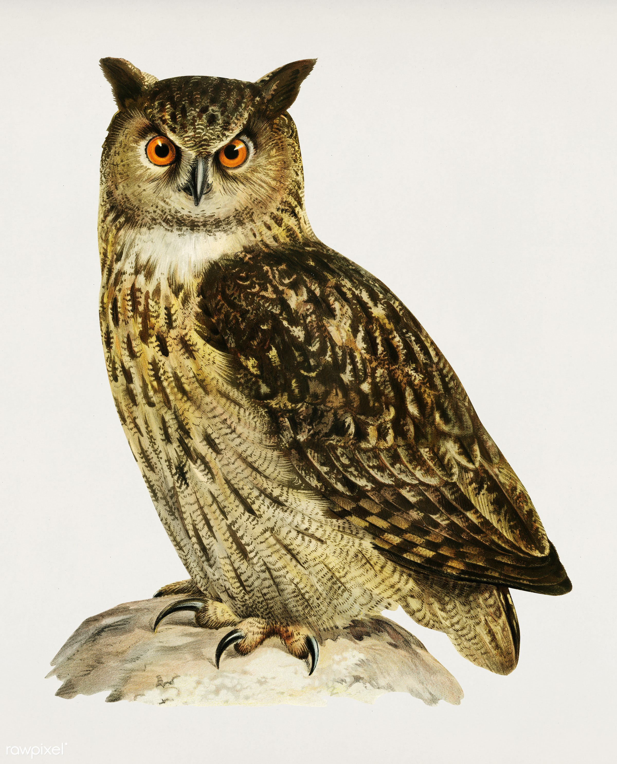 Eurasian eagle-owl (BUBO BUBO) illustrated by the von Wright brothers. Digitally enhanced from our own 1929 folio version of...