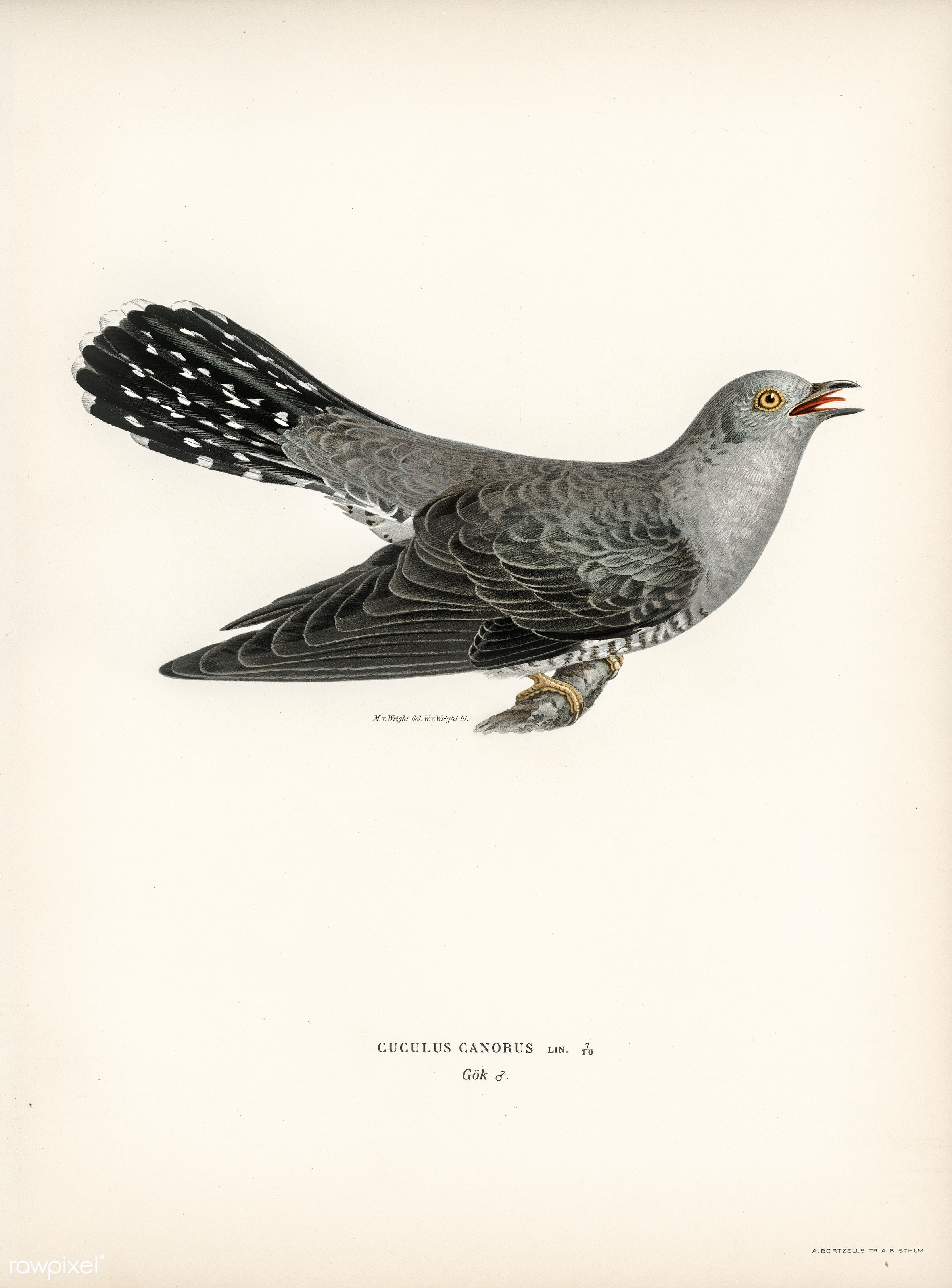 Common cuckoo-male (Cuculus canorus) illustrated by the von Wright brothers. Digitally enhanced from our own 1929 folio...