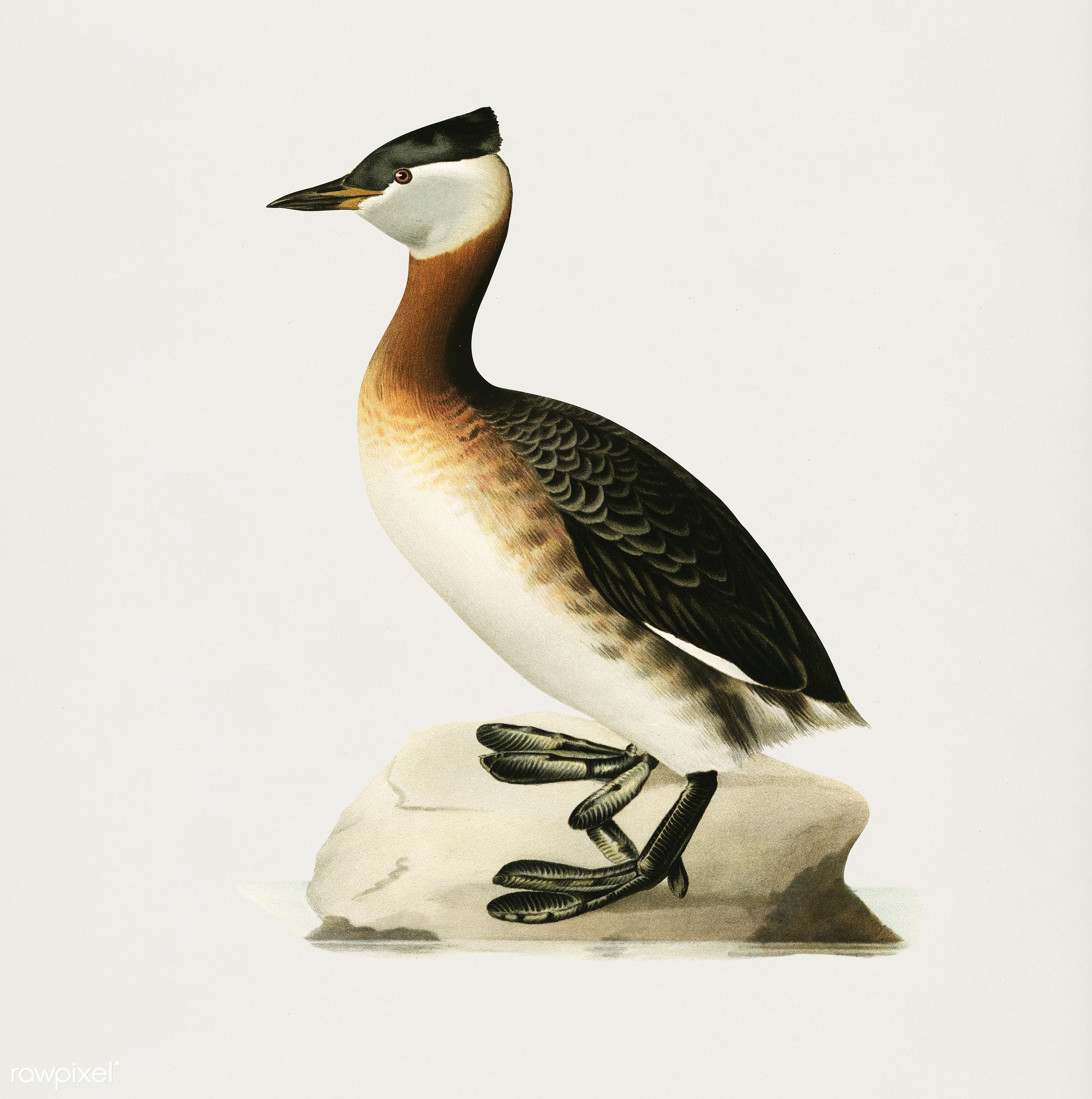Red-necked grebe male (Odiceps grisegena) illustrated by the von Wright brothers. Digitally enhanced from our own 1929 folio...