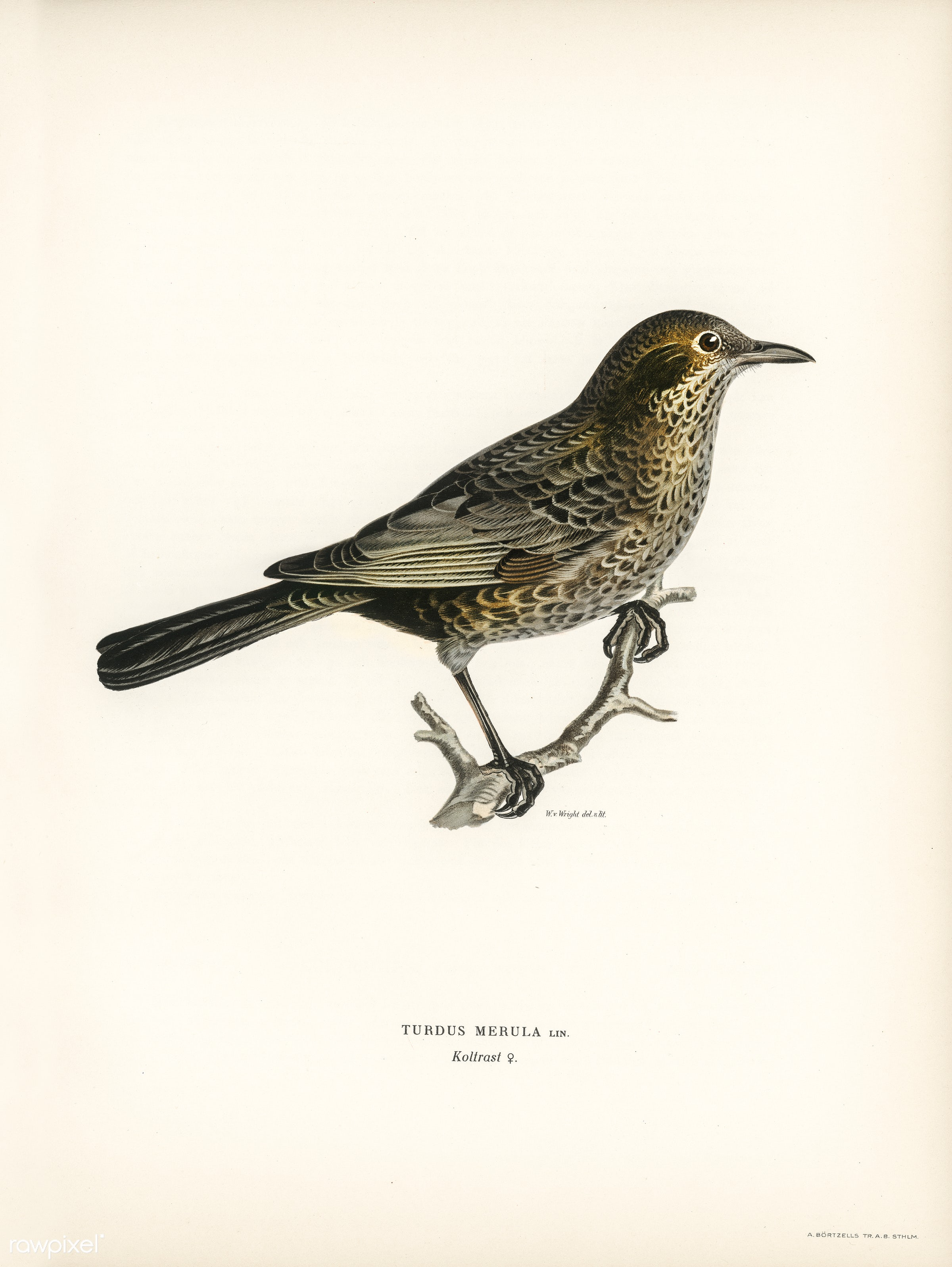 Blackbird ♀ (Turdus merula) illustrated by the von Wright brothers. Digitally enhanced from our own 1929 folio version of...