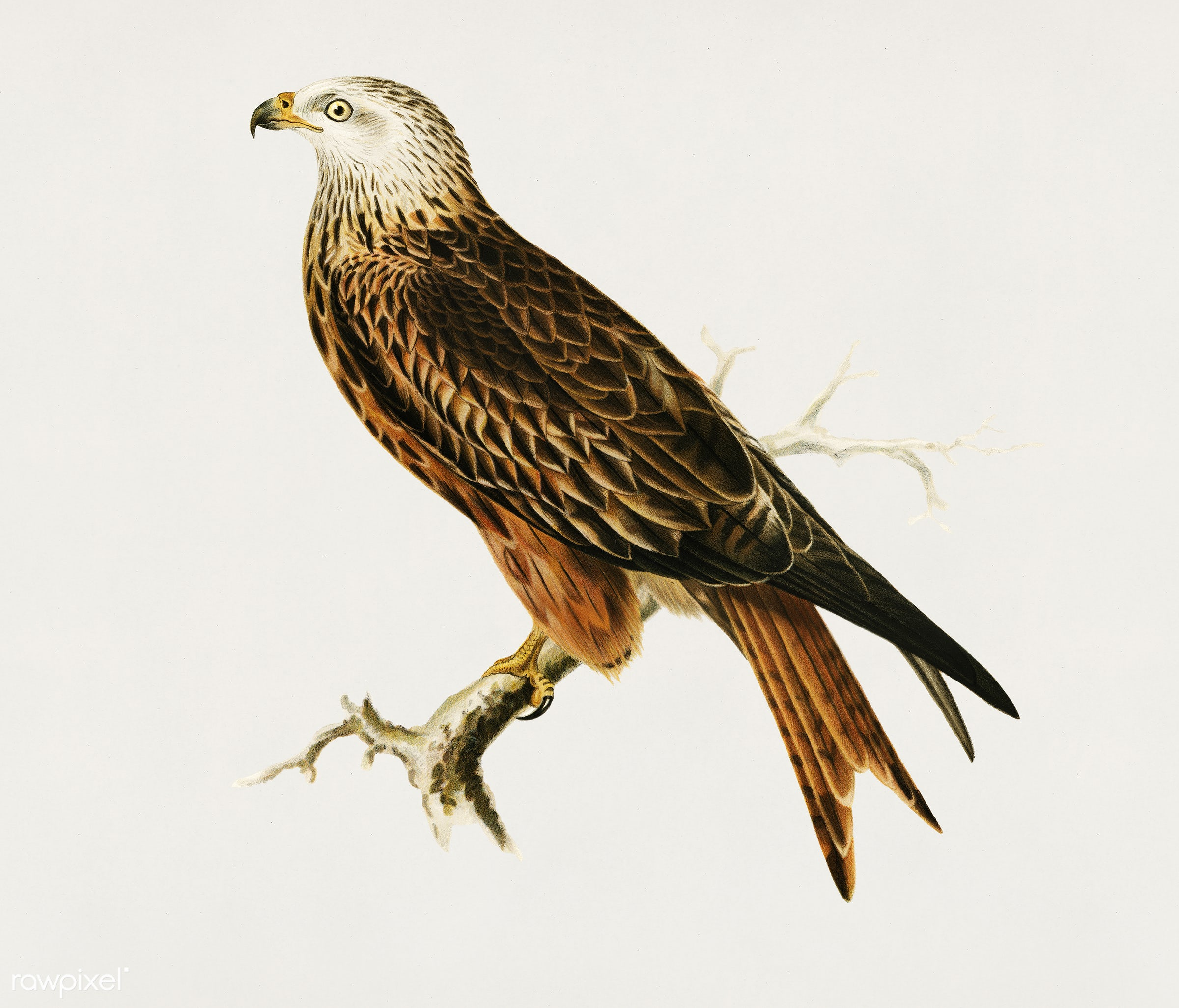 Red Kite (Milvus milvus) illustrated by the von Wright brothers. Digitally enhanced from our own 1929 folio version of...