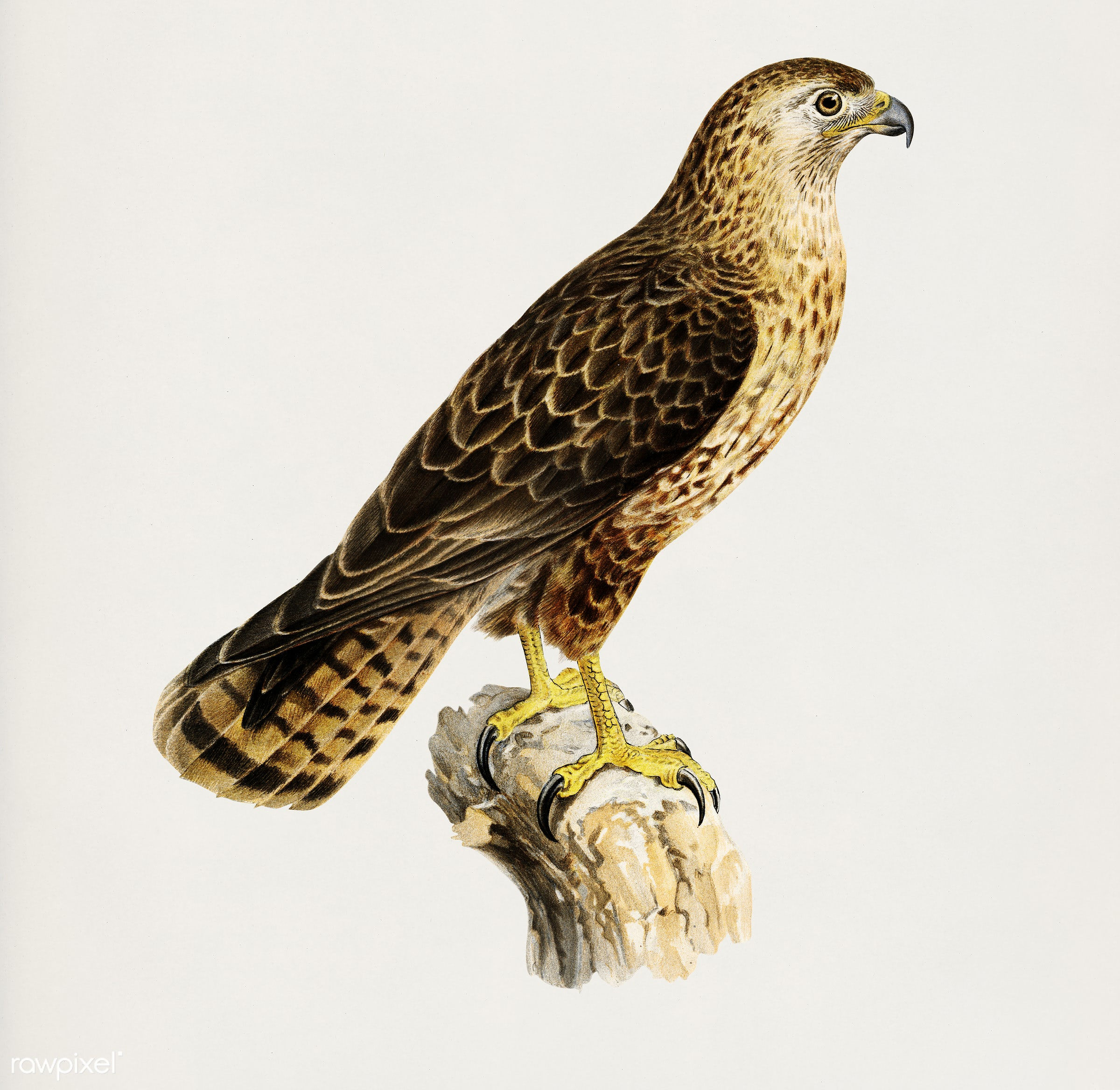 Common Buzzard (Buteo buteo intermedius) illustrated by the von Wright brothers. Digitally enhanced from our own 1929 folio...