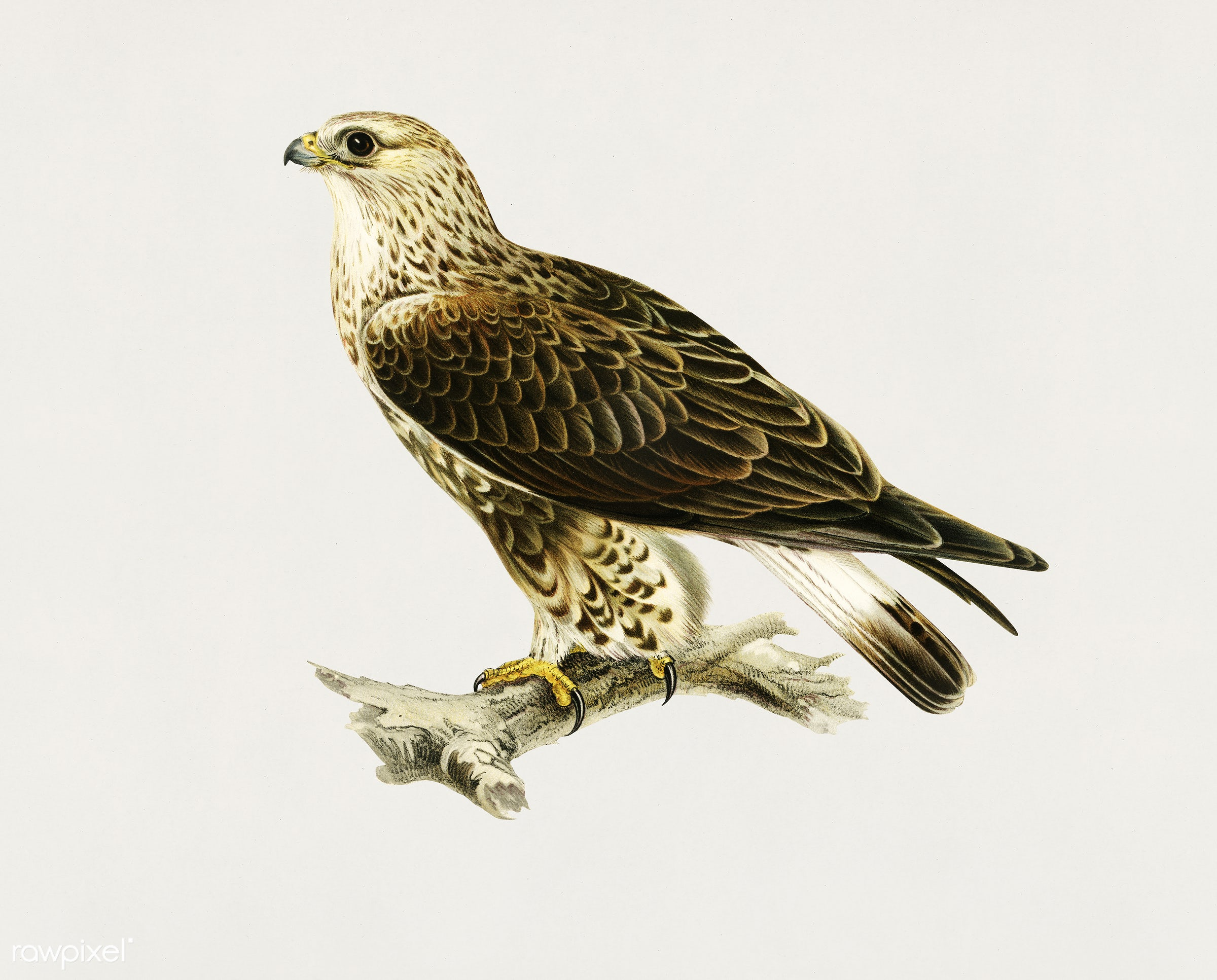 Rough-legged Hawk (TRIORCHIS LAGOPUS) illustrated by the von Wright brothers. Digitally enhanced from our own 1929 folio...