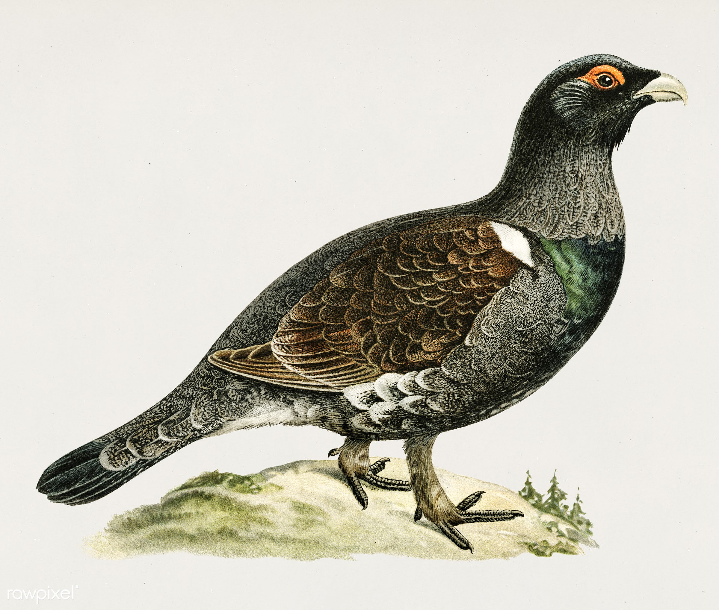 Western capercaillie (TETRAO UROGALLUS) illustrated by the von Wright brothers. Digitally enhanced from our own 1929 folio...