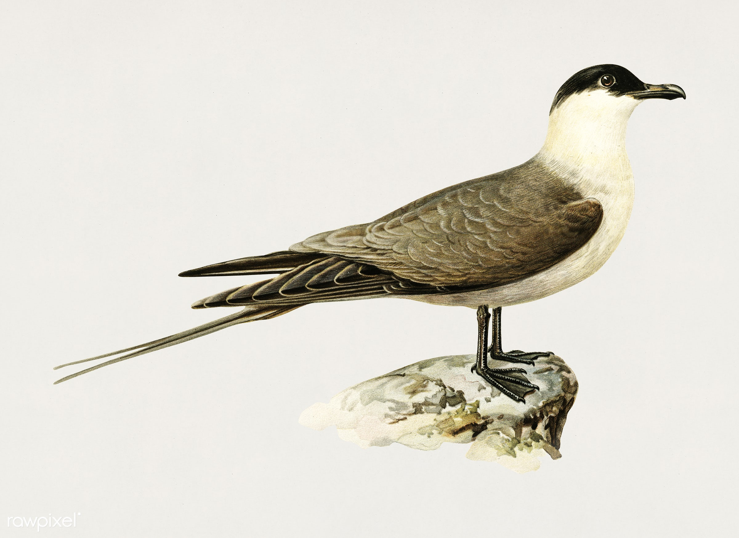 Long-tailed jaeger (Stercorarius longicaudus) illustrated by the von Wright brothers. Digitally enhanced from our own 1929...