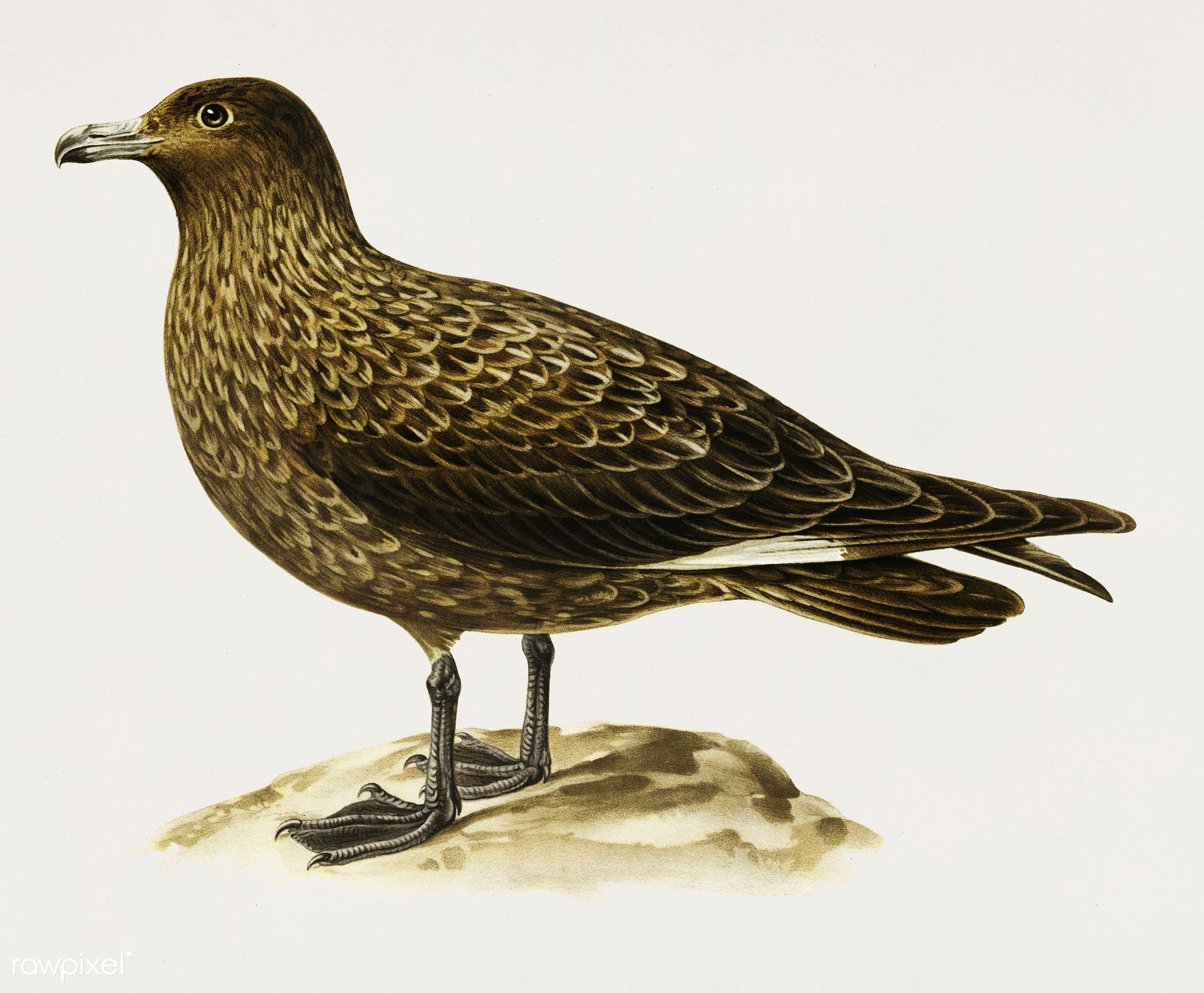 Great skua (Stercorarius skua) illustrated by the von Wright brothers. Digitally enhanced from our own 1929 folio version of...