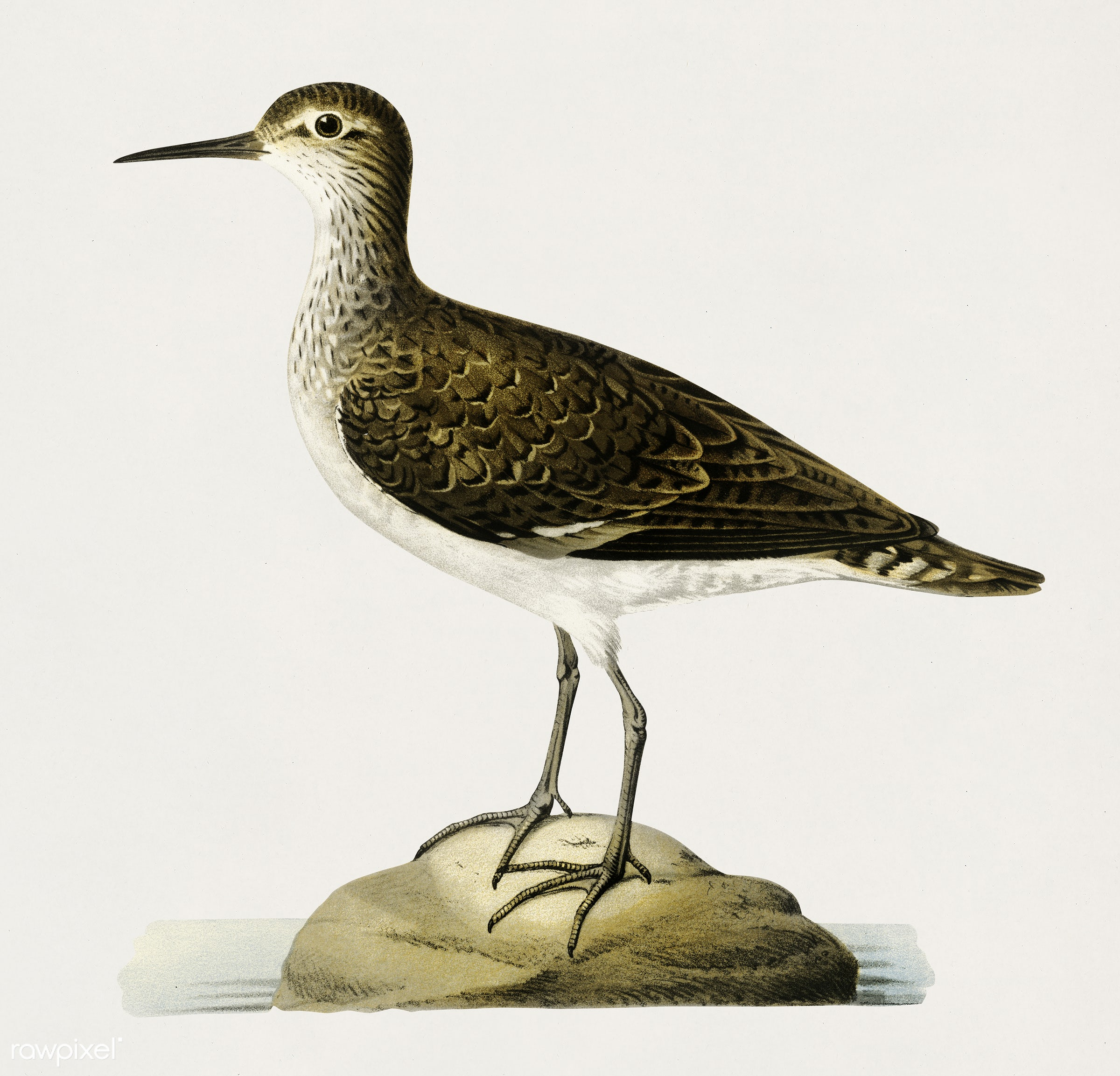 Sandpiper (Tringoides hypoleucus) illustrated by the von Wright brothers. Digitally enhanced from our own 1929 folio version...