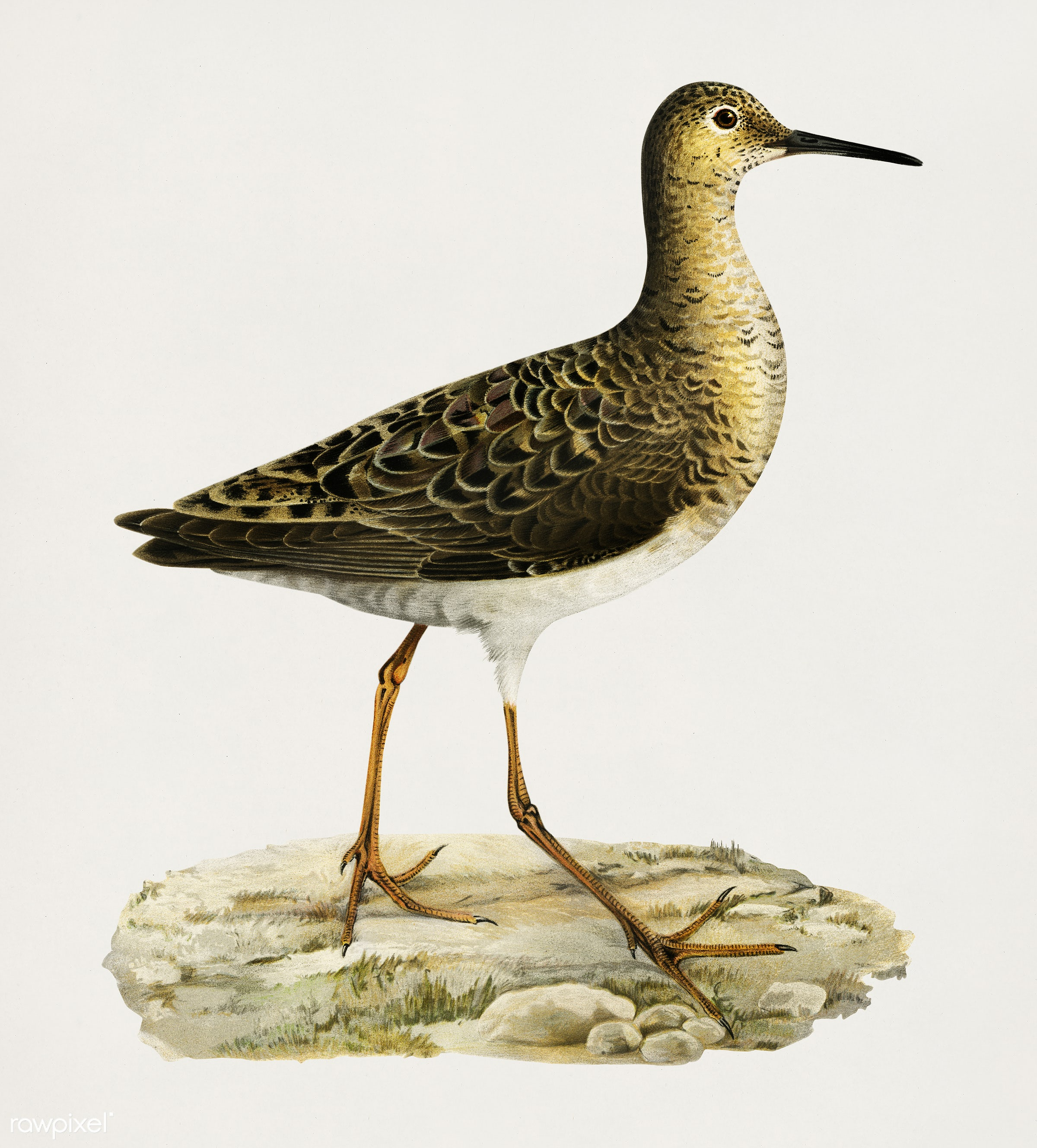 Ruff (Philomachus pugnax), female, illustrated by the von Wright brothers. Digitally enhanced from our own 1929 folio...