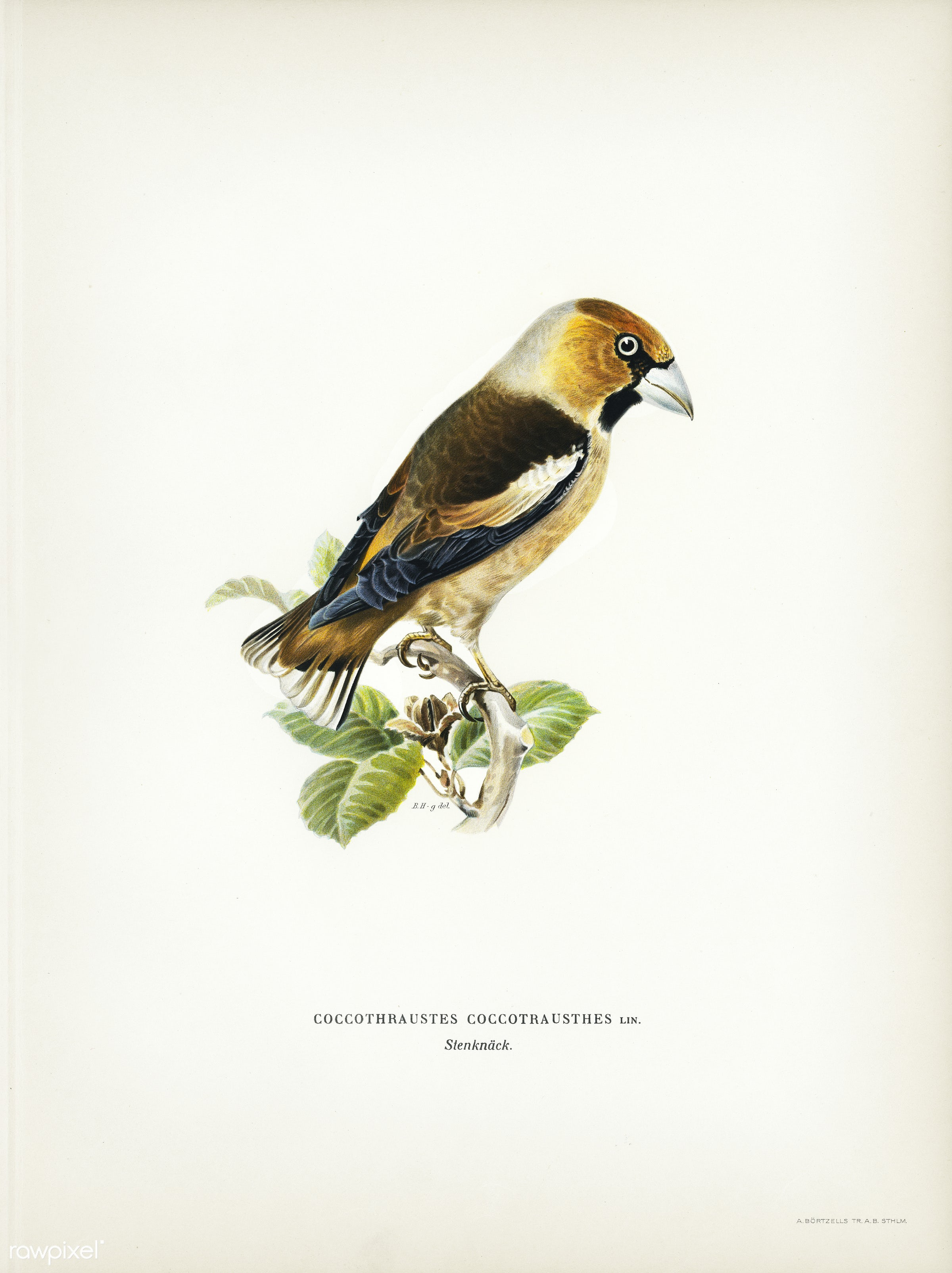 Hawfinch (Coccothraustes coccothraustes) illustrated by the von Wright brothers. Digitally enhanced from our own 1929 folio...