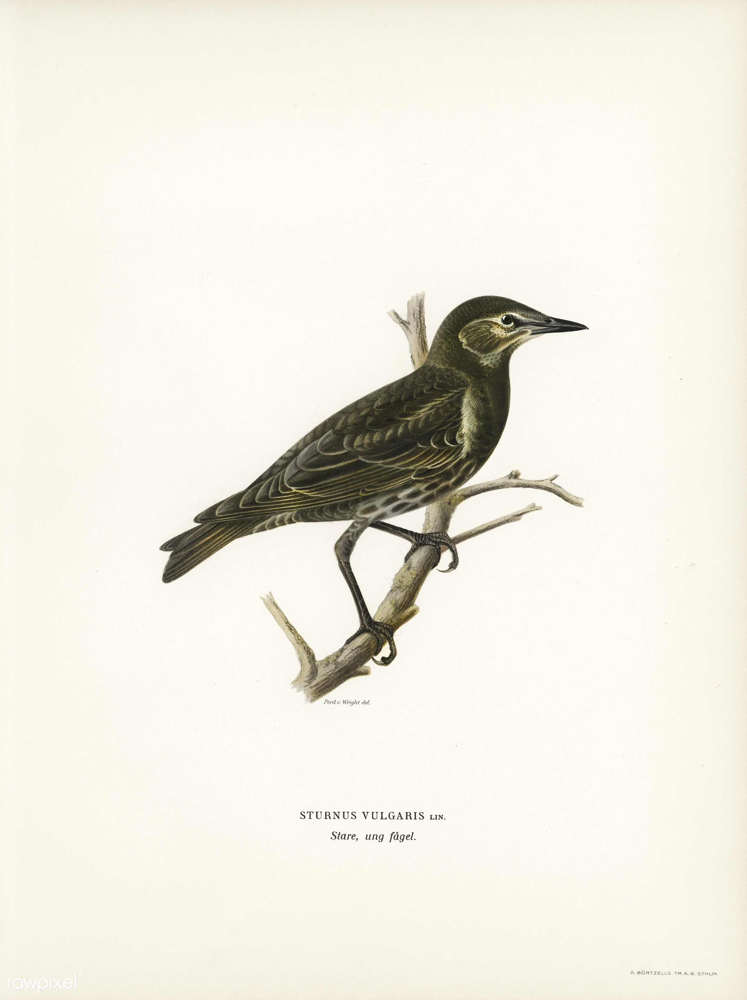 Starling (Sturnus vulgaris) illustrated by the von Wright brothers. Digitally enhanced from our own 1929 folio version of...