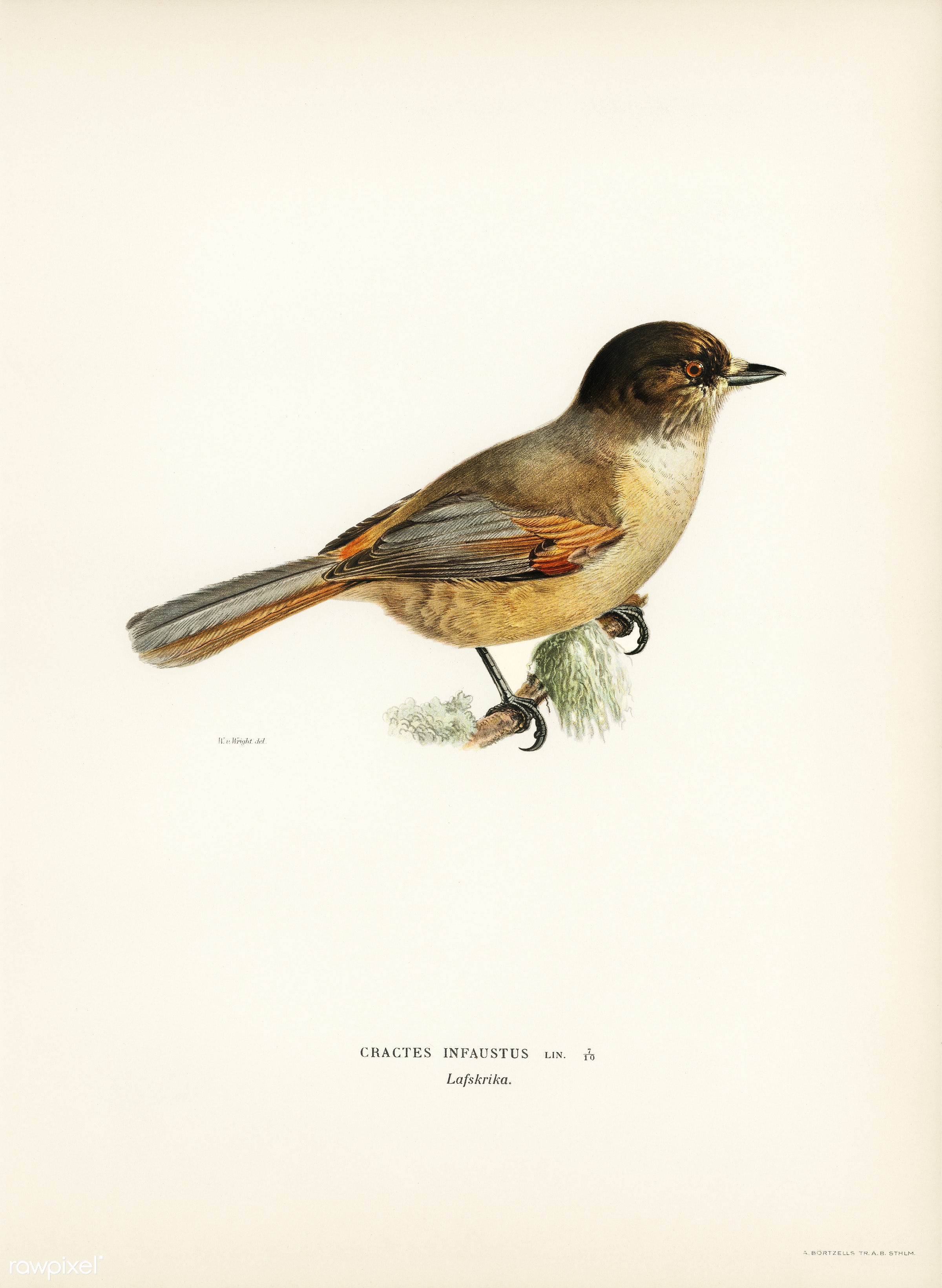 Siberian Jay (Perisoreus infaustus) illustrated by the von Wright brothers. Digitally enhanced from our own 1929 folio...