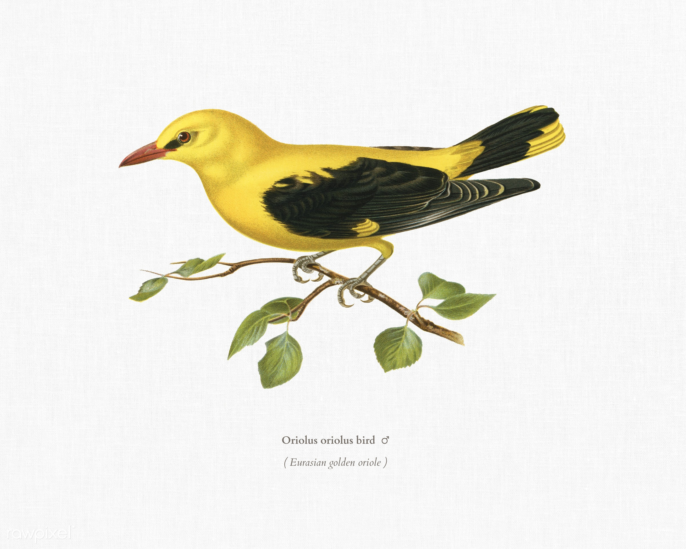Eurasian golden oriole male (Oriolus oriolus bird) illustrated by the von Wright brothers. Digitally enhanced from our own...