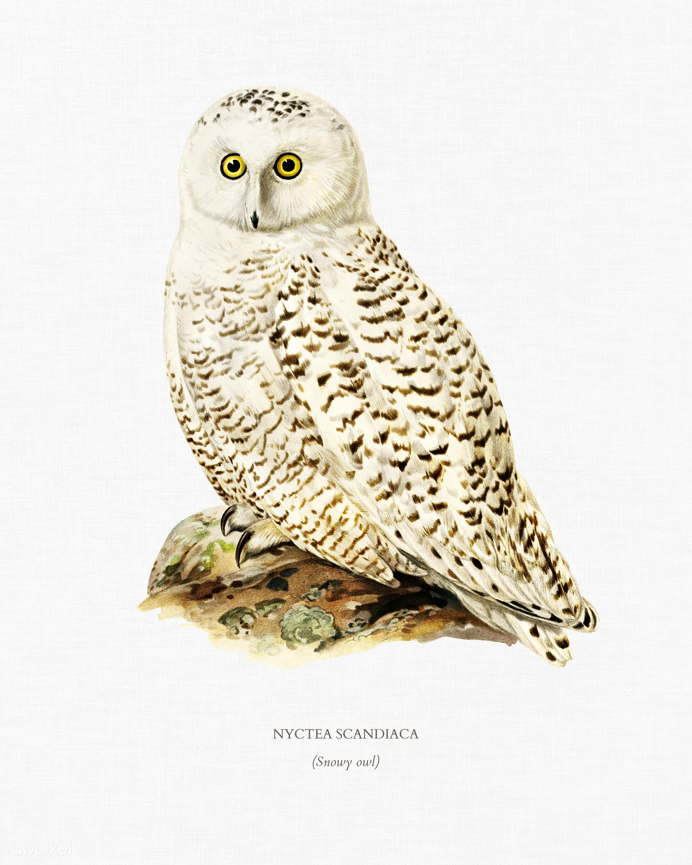 Snowy owl (Nyctea Scandiaca) illustrated by the von Wright brothers. Digitally enhanced from our own 1929 folio version of...