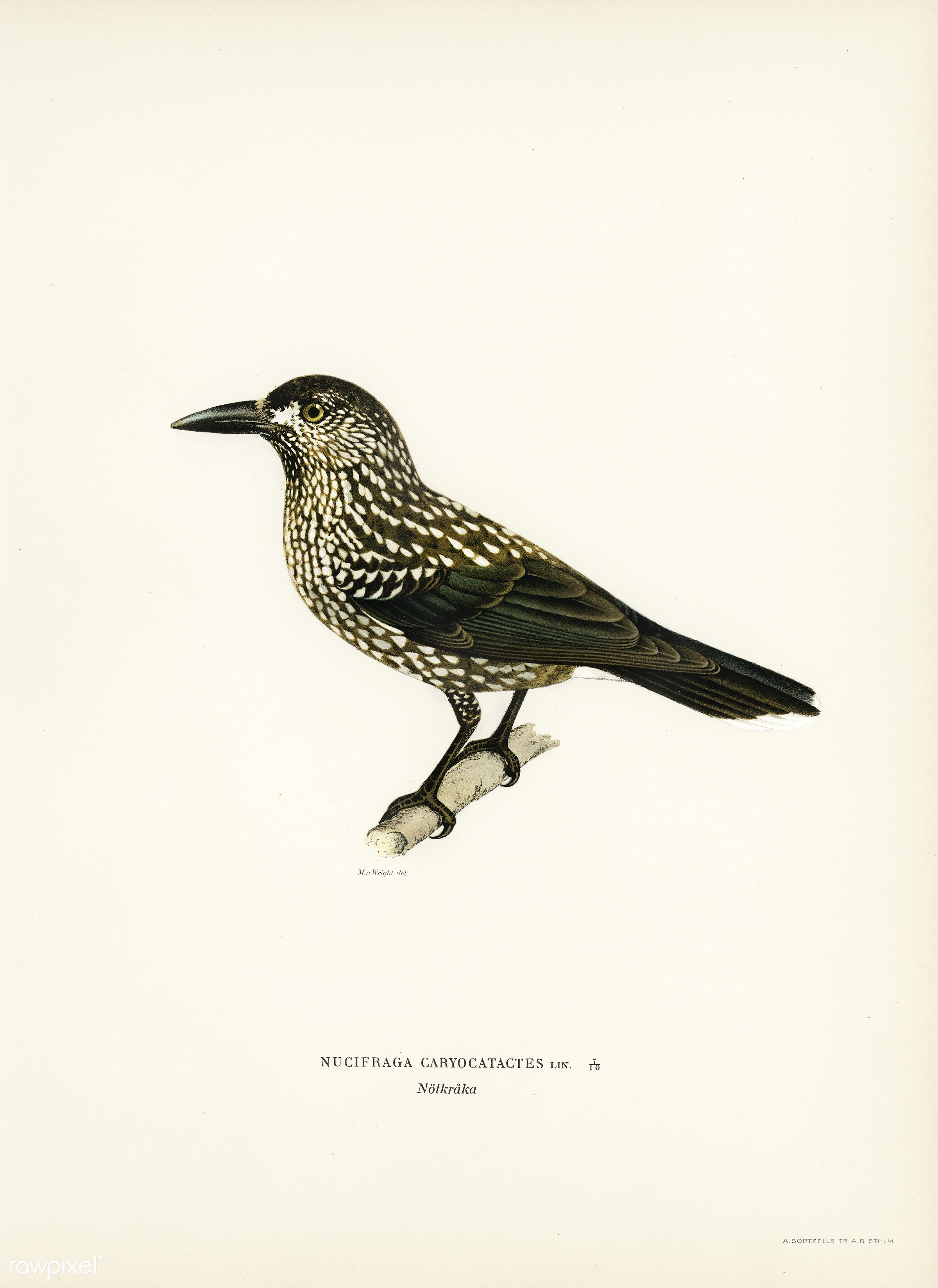 Spotted Nutcracker (Nucifraga caryocatactes) illustrated by the von Wright brothers. Digitally enhanced from our own 1929...