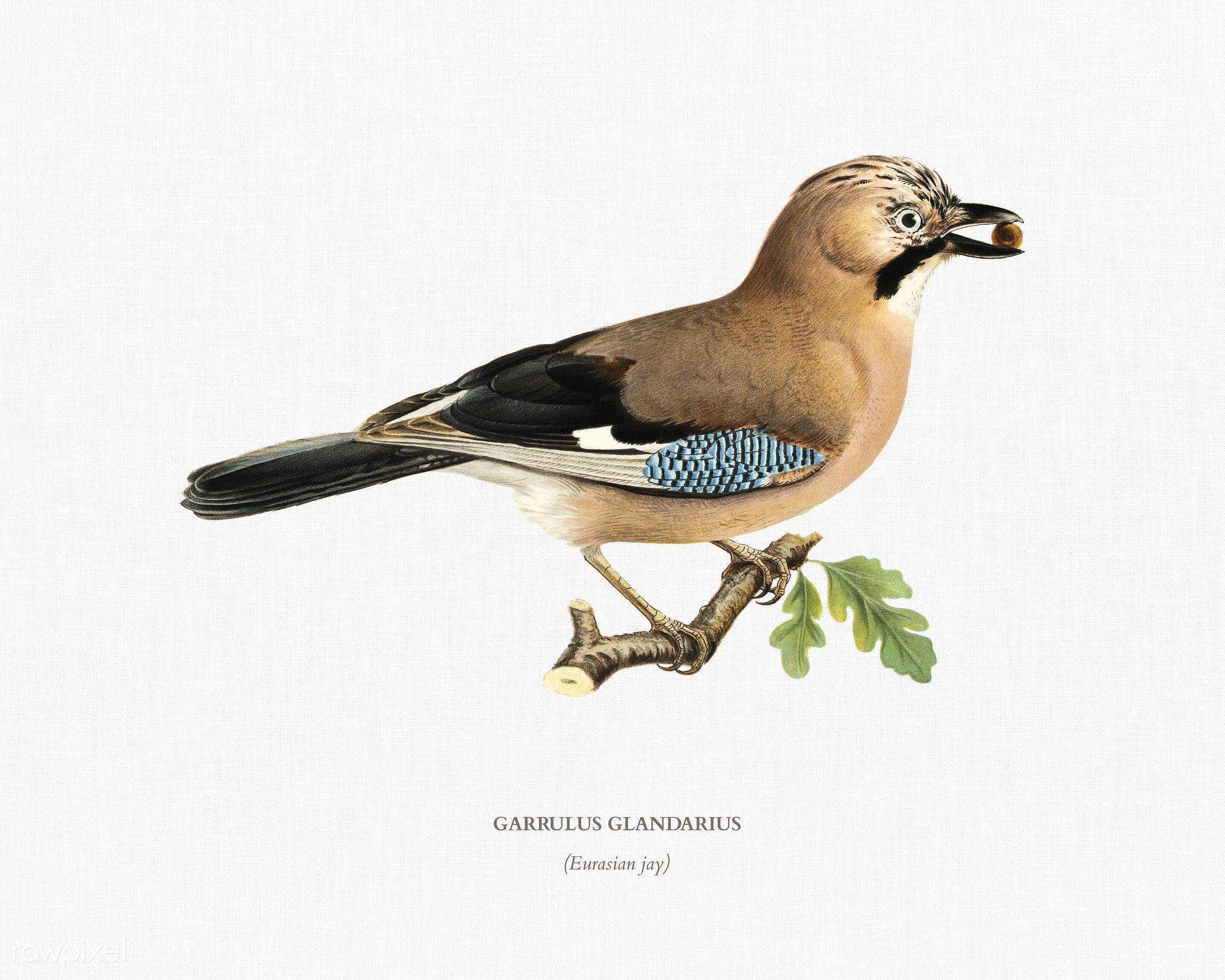 Eurasian jay (Garrulus glandarius) illustrated by the von Wright brothers. Digitally enhanced from our own 1929 folio...