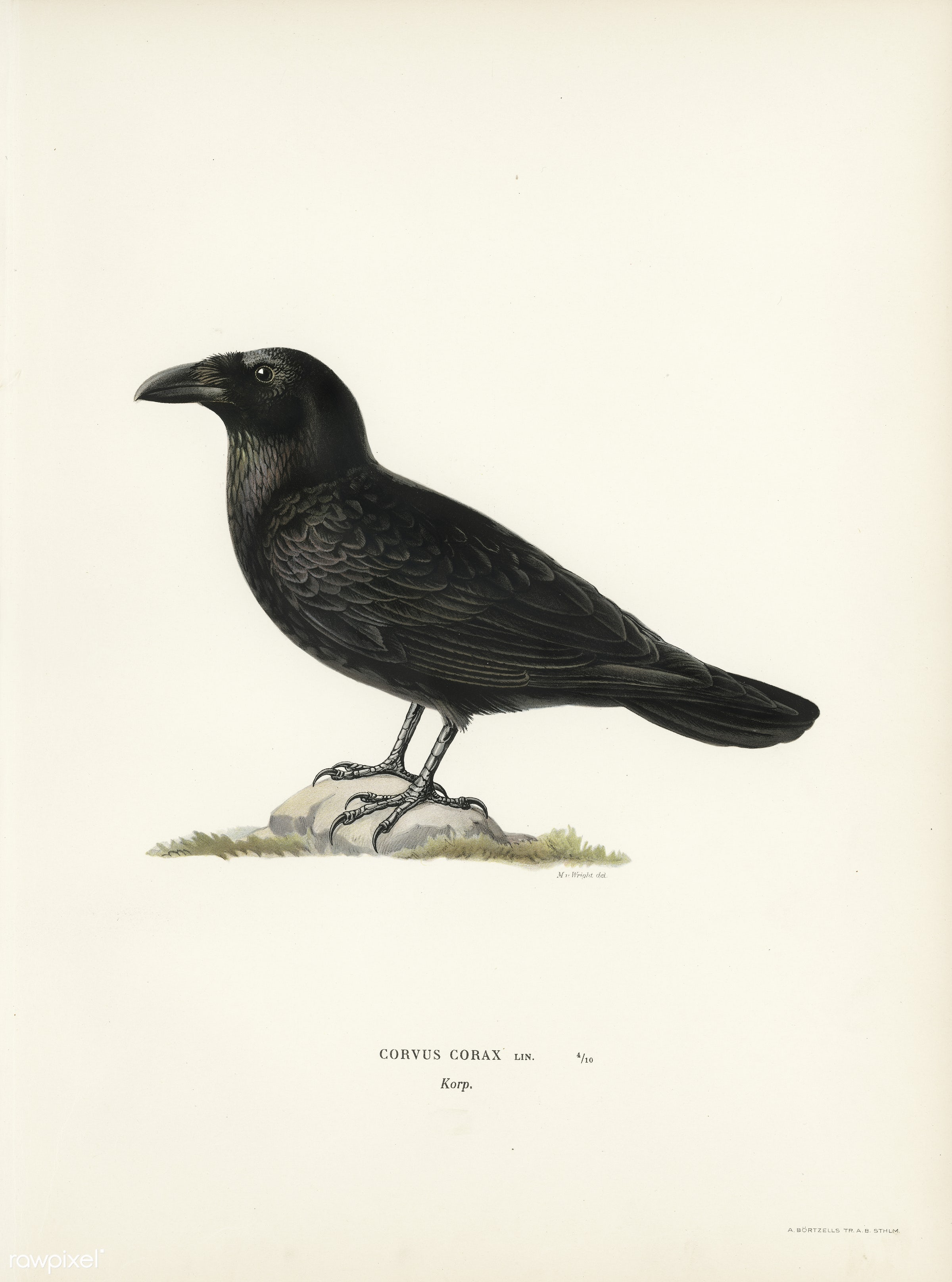 Common raven (Corvus corax) illustrated by the von Wright brothers. Digitally enhanced from our own 1929 folio version of...