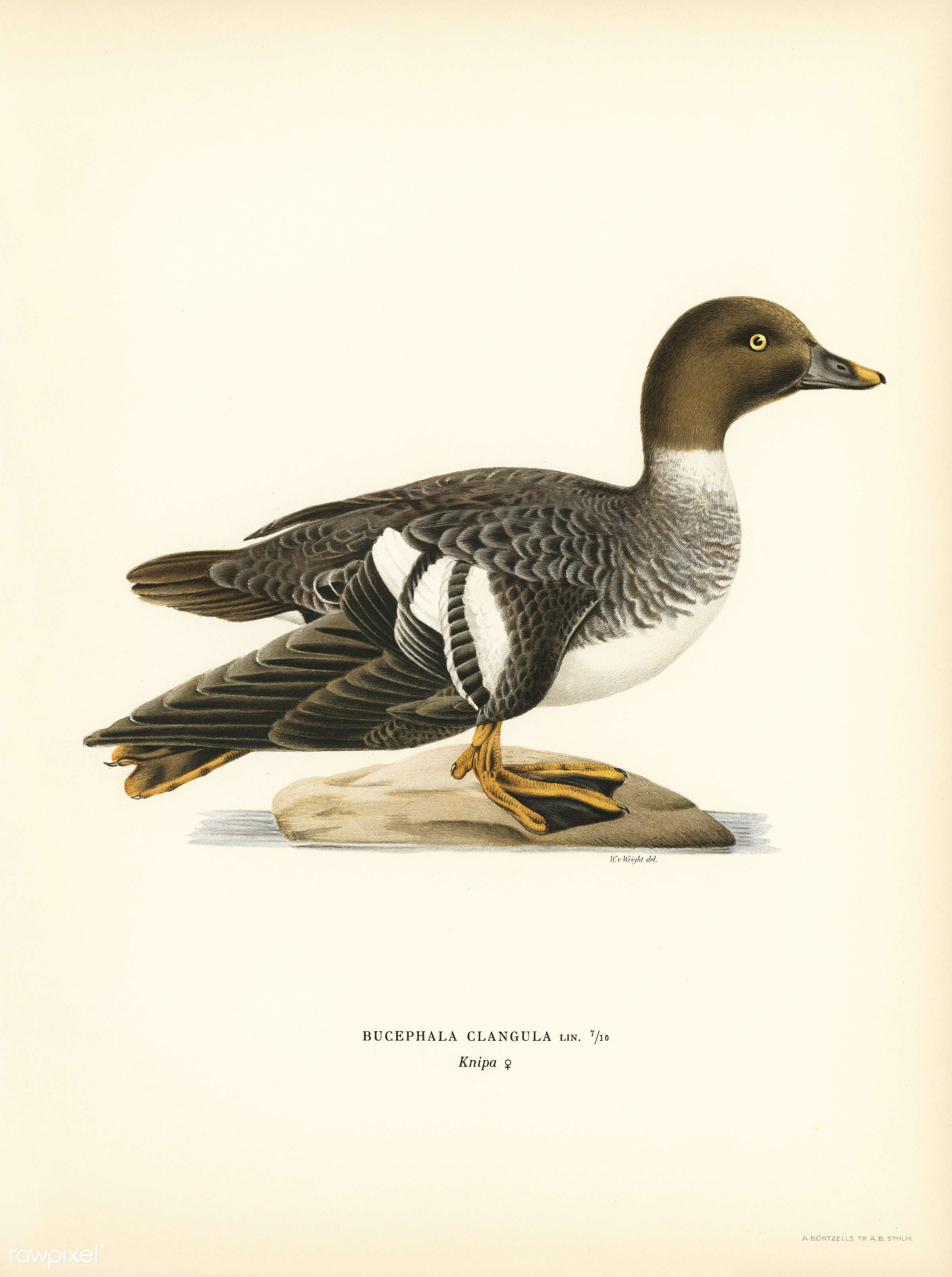 Goldeneye female (Bucephala clangula) illustrated by the von Wright brothers. Digitally enhanced from our own 1929 folio...