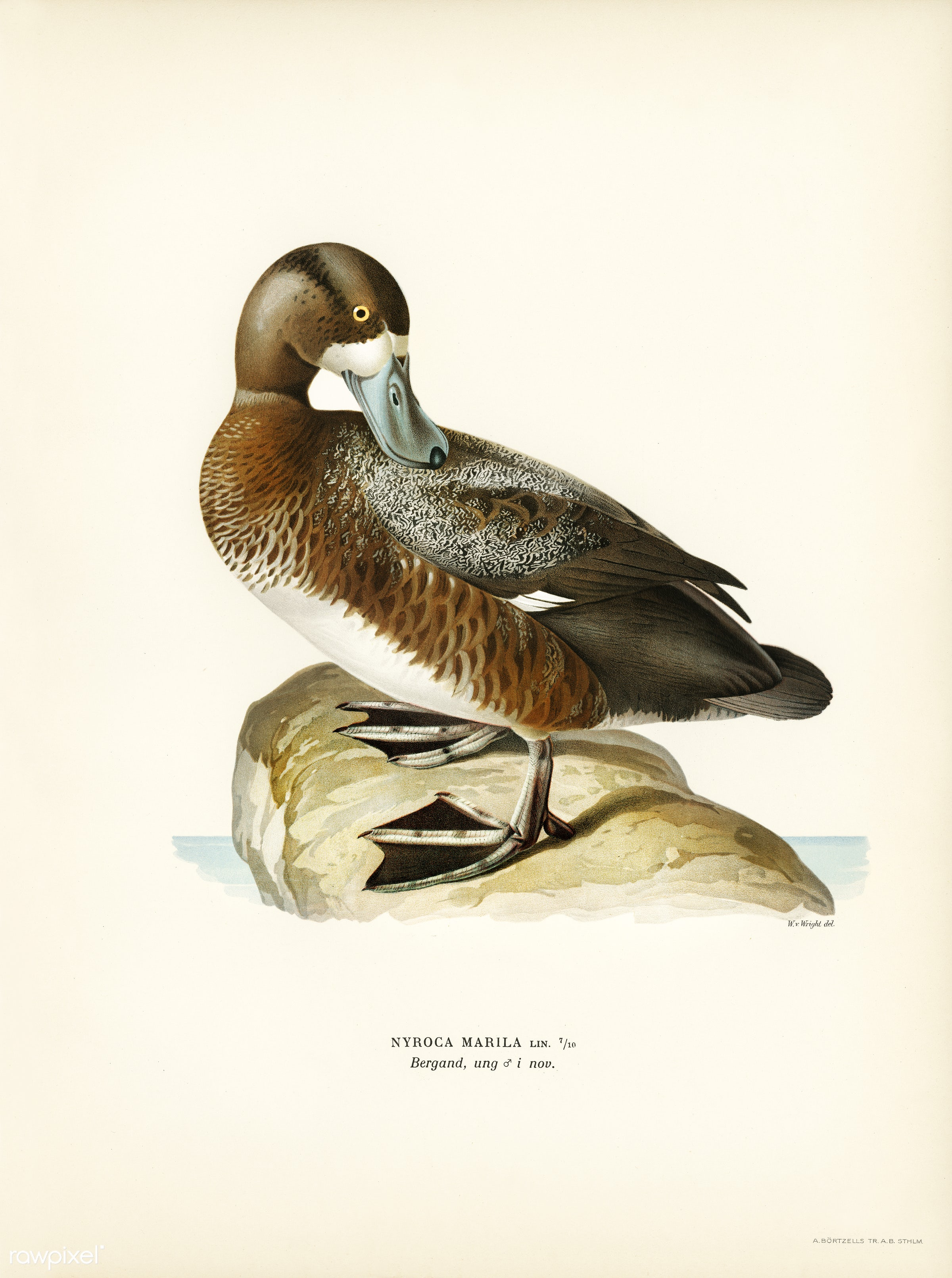 Greate Scaup, Scaup male ♂ (Nyroca marila) illustrated by the von Wright brothers. Digitally enhanced from our own 1929...