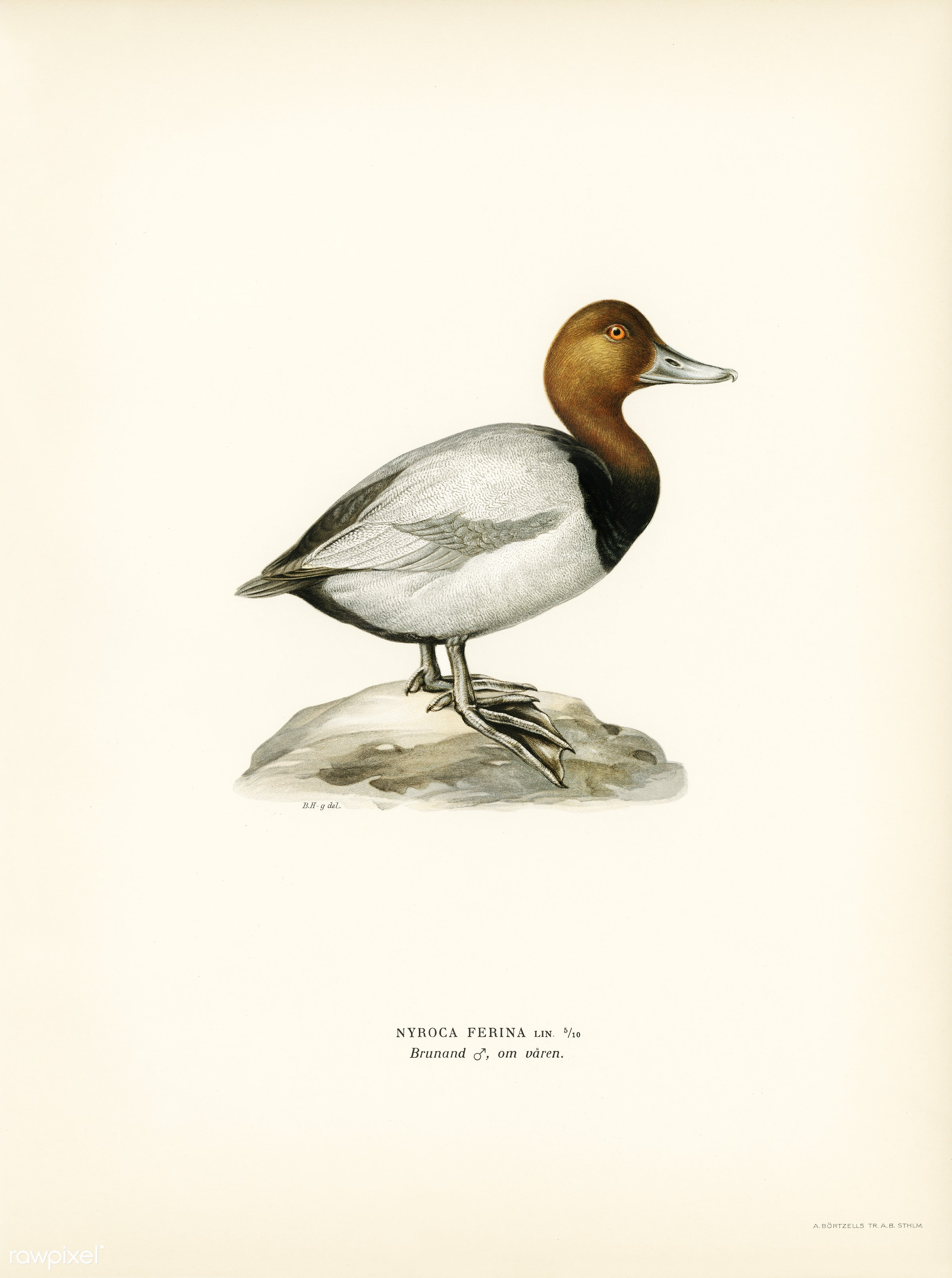 Common Pochard male ♂ (Nyroca ferina) illustrated by the von Wright brothers. Digitally enhanced from our own 1929 folio...