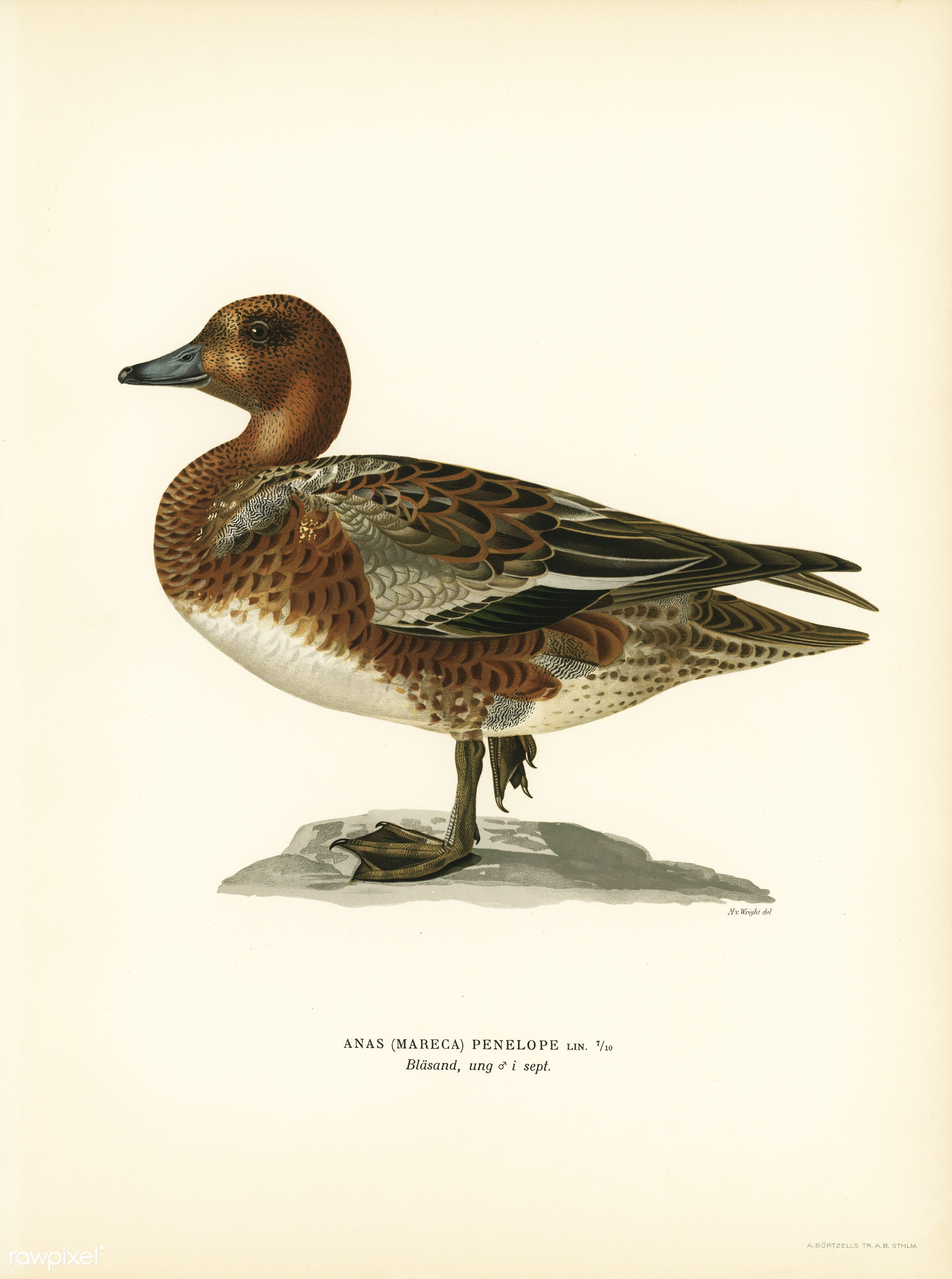 Eurasian wigeon male (Anas (Mereca) penelope) illustrated by the von Wright brothers. Digitally enhanced from our own 1929...