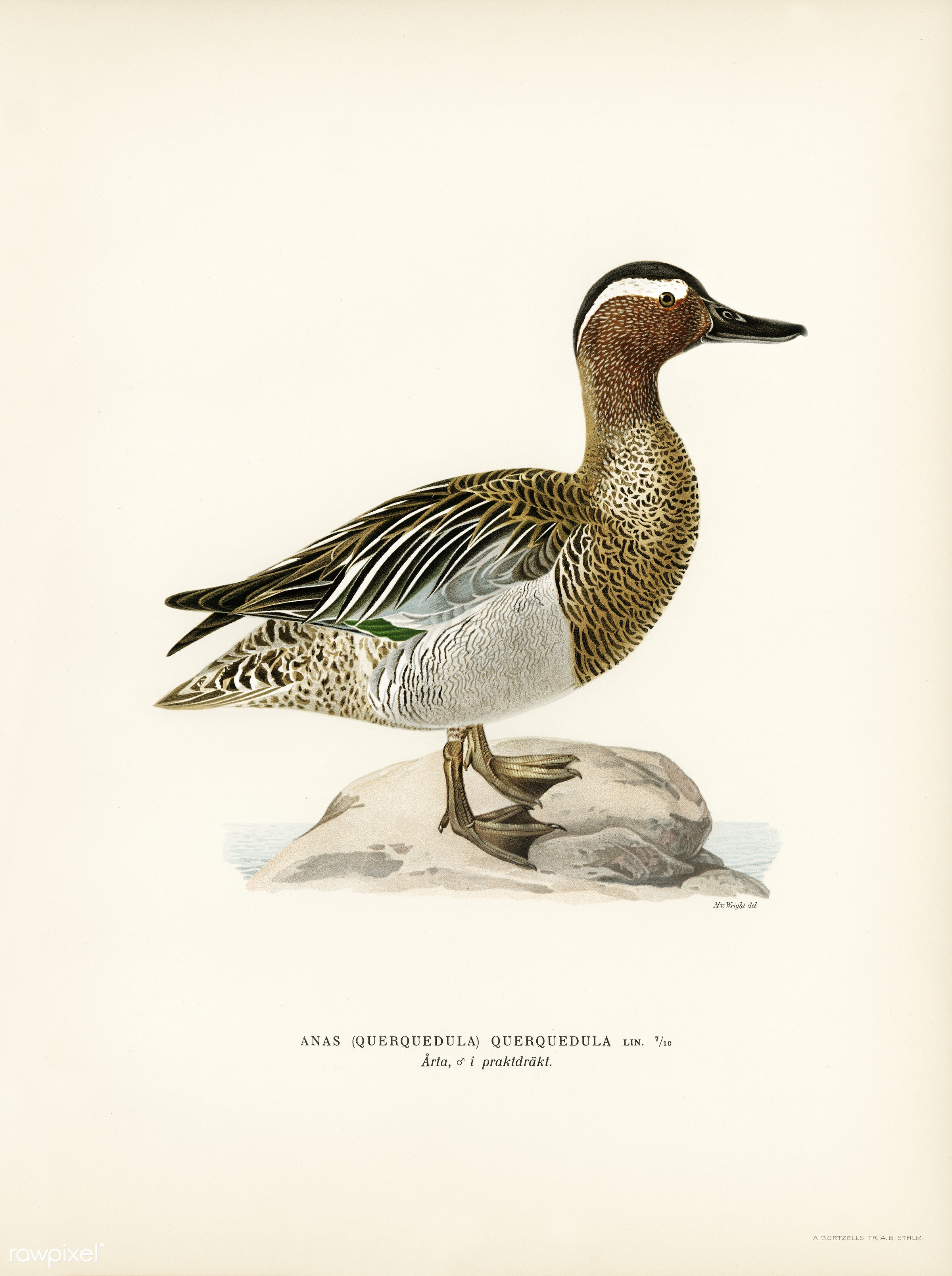Garganey male (Anas querquedula) illustrated by the von Wright brothers. Digitally enhanced from our own 1929 folio version...
