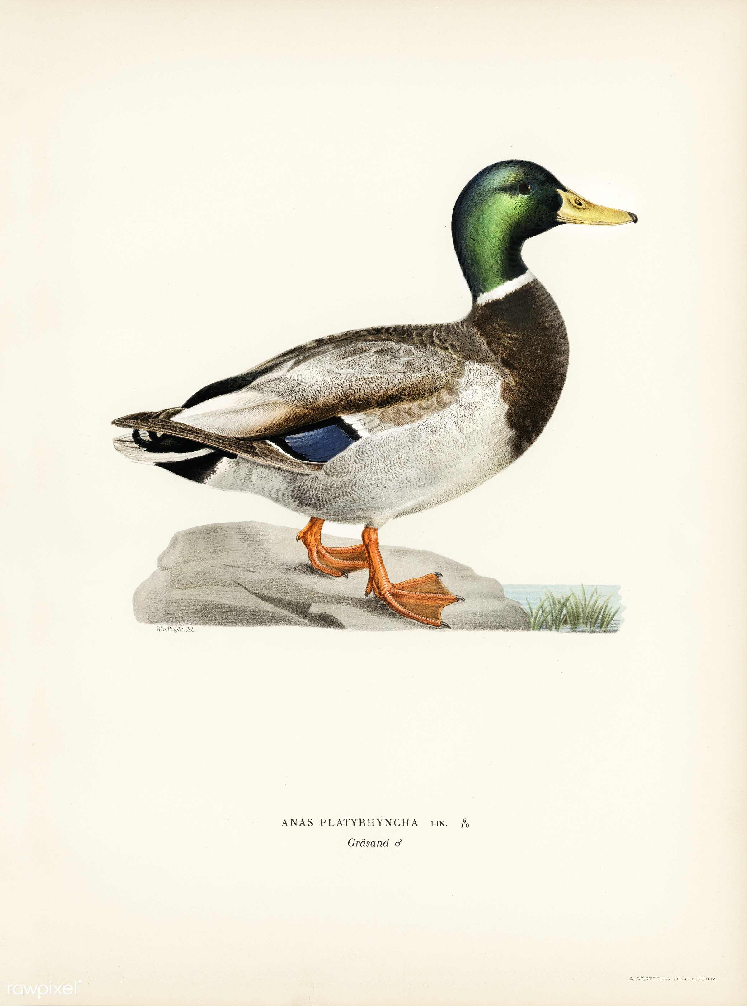 Mallard male (Anas platyrhynchos) illustrated by the von Wright brothers. Digitally enhanced from our own 1929 folio version...