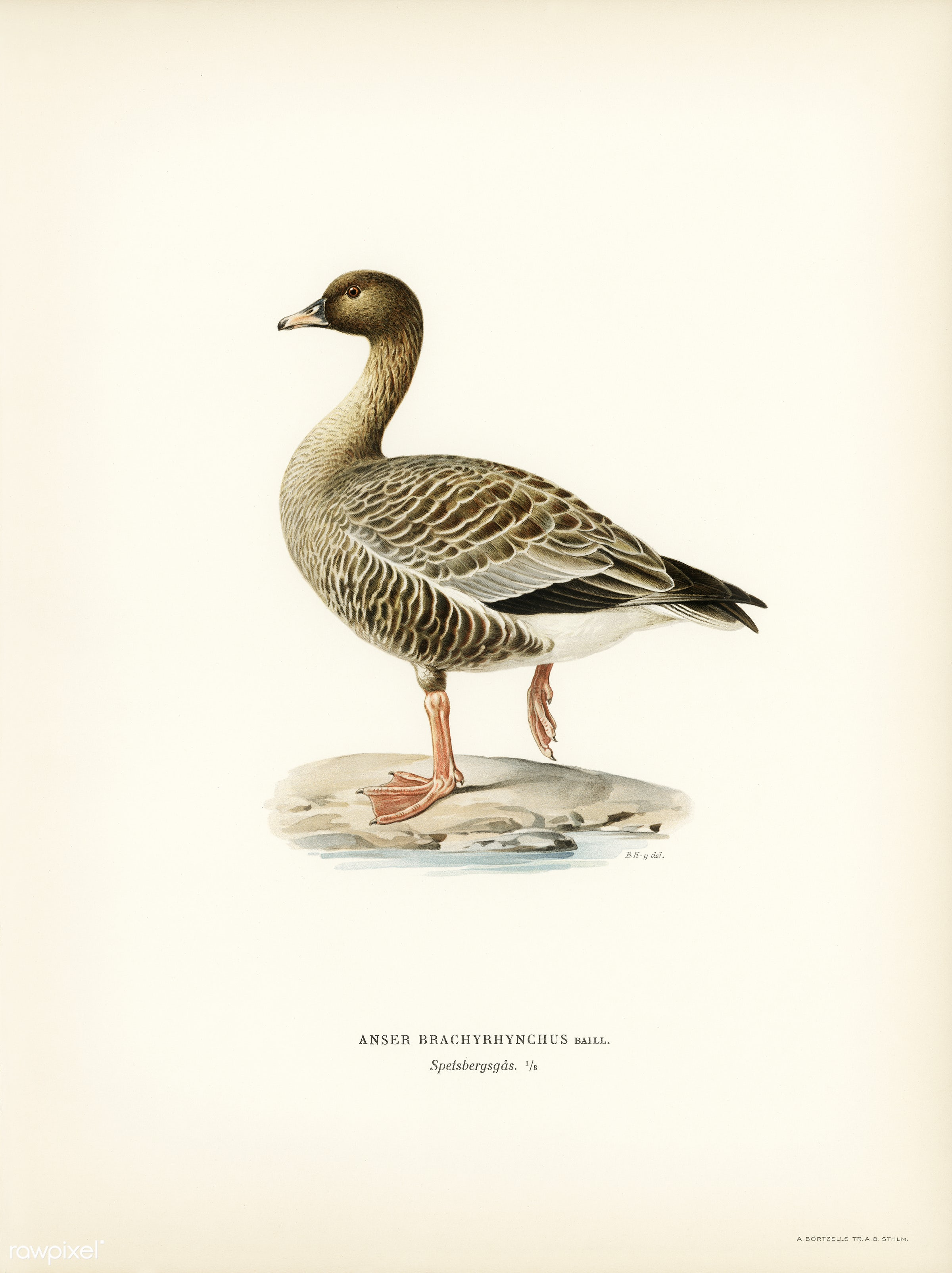 Pink-footed Goose (Anser brachyrhynchus) illustrated by the von Wright brothers. Digitally enhanced from our own 1929 folio...
