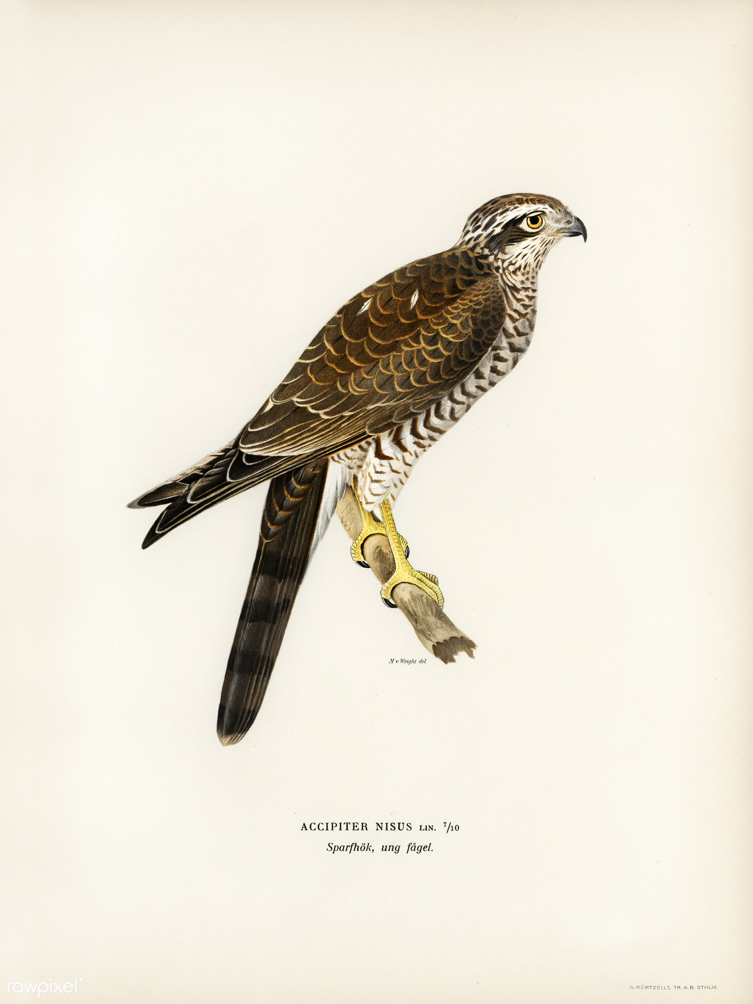 Eurasian Sparrowhawk (Accipiter nisus) illustrated by the von Wright brothers. Digitally enhanced from our own 1929 folio...