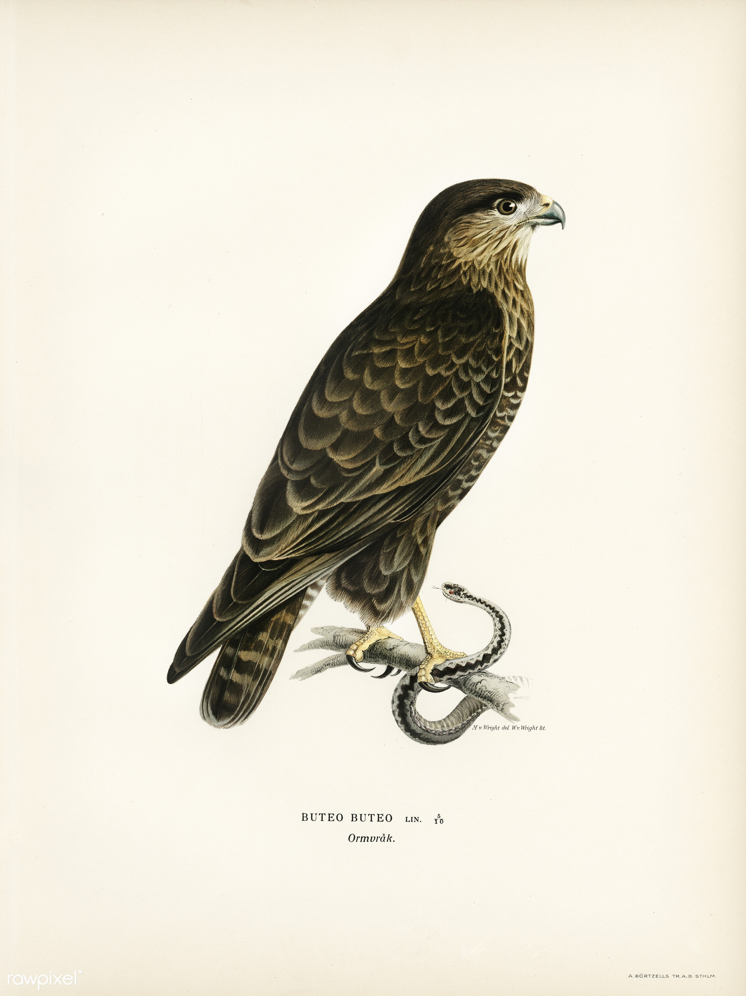 Common Buzzard (BUTEO BUTEO) illustrated by the von Wright brothers. Digitally enhanced from our own 1929 folio version of...