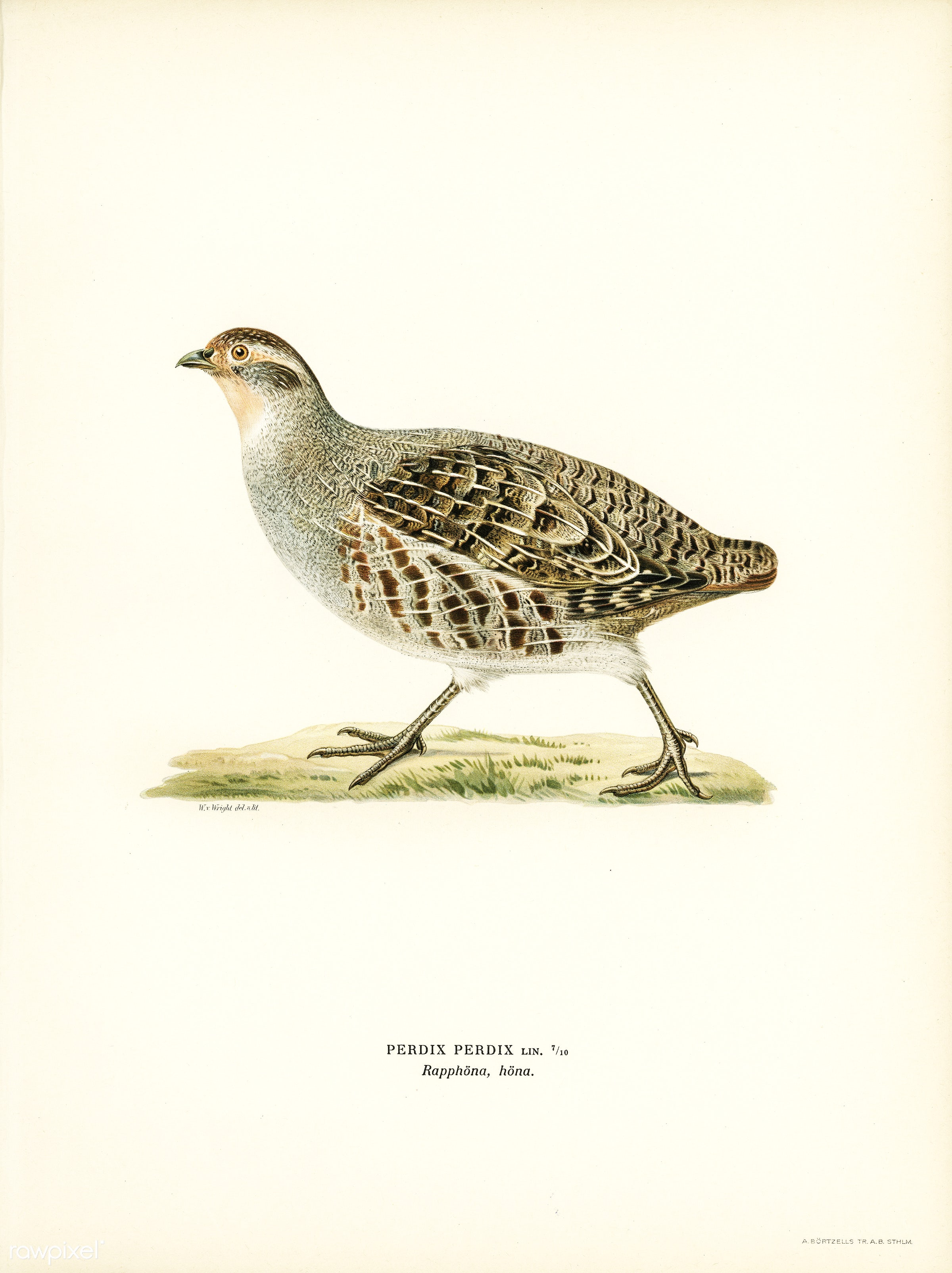 Grey partridge (PERDIX PERDIX) illustrated by the von Wright brothers. Digitally enhanced from our own 1929 folio version of...