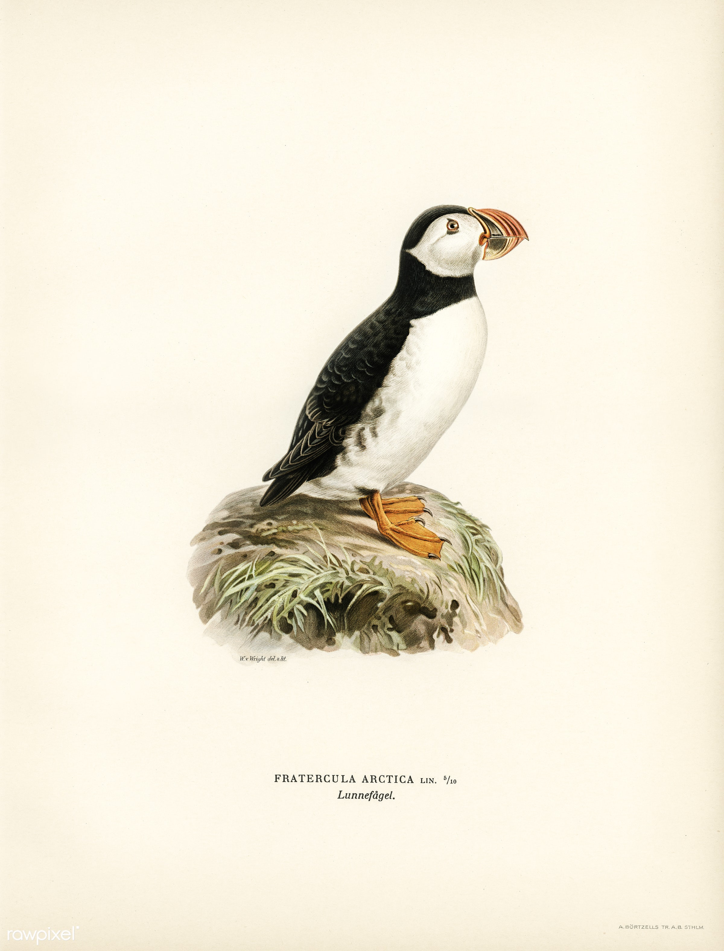 Atlantic puffin (Fratercula arctica) illustrated by the von Wright brothers. Digitally enhanced from our own 1929 folio...