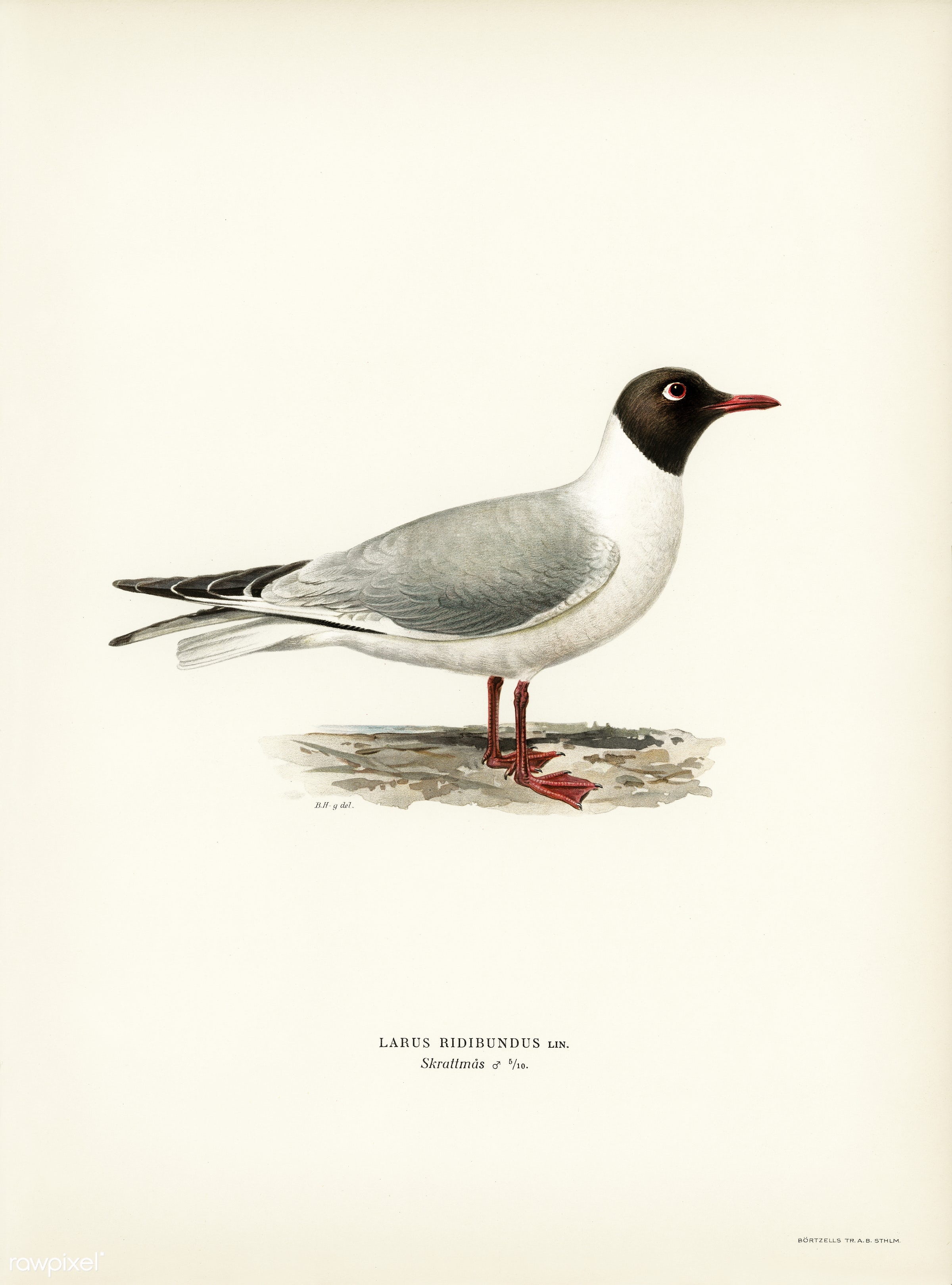 Black-headed gull ♂ (Larus ridibundus) illustrated by the von Wright brothers. Digitally enhanced from our own 1929 folio...