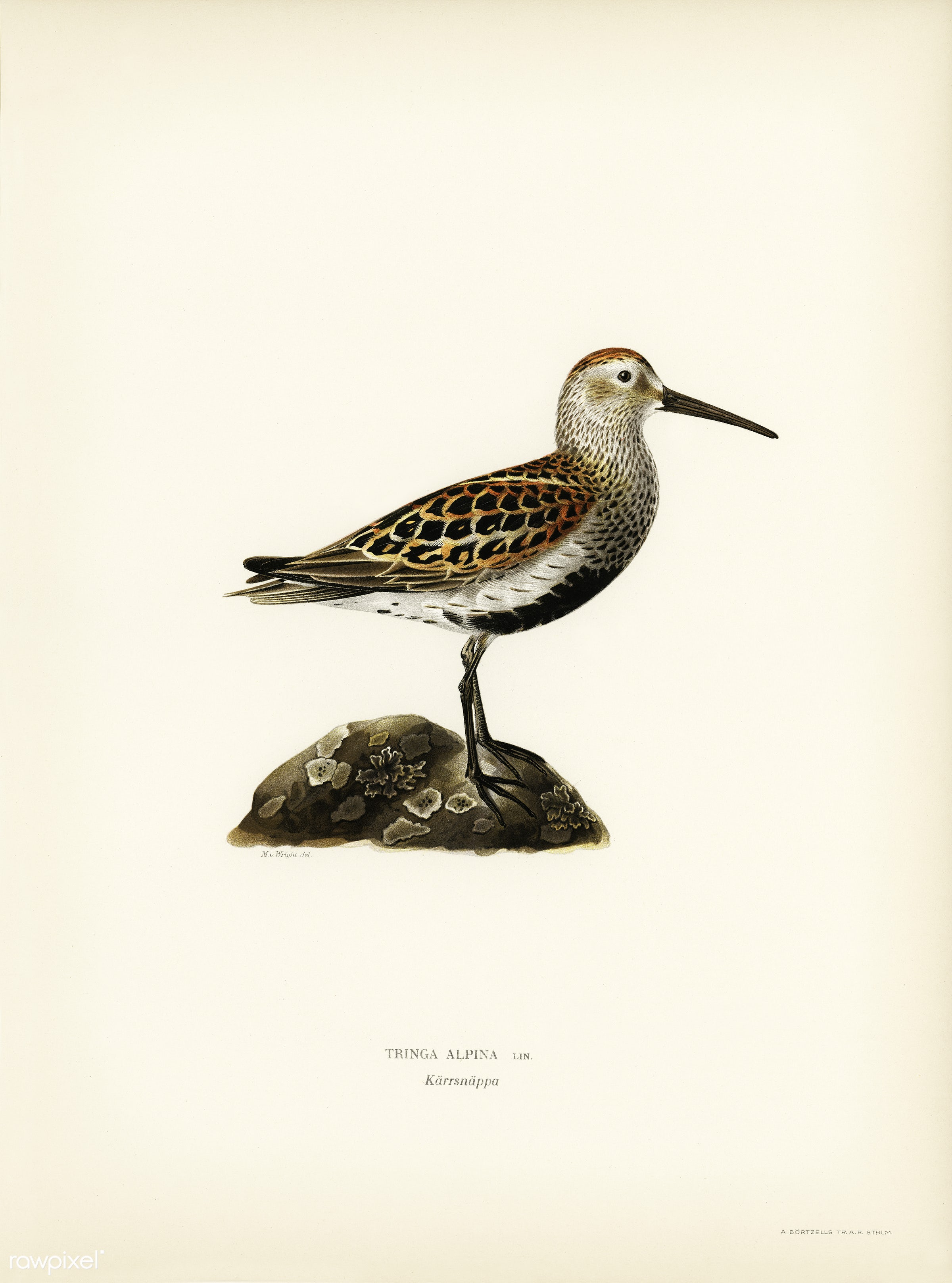 Tringa Alpina (Dunlin) illustrated by the von Wright brothers. Digitally enhanced from our own 1929 folio version of Svenska...