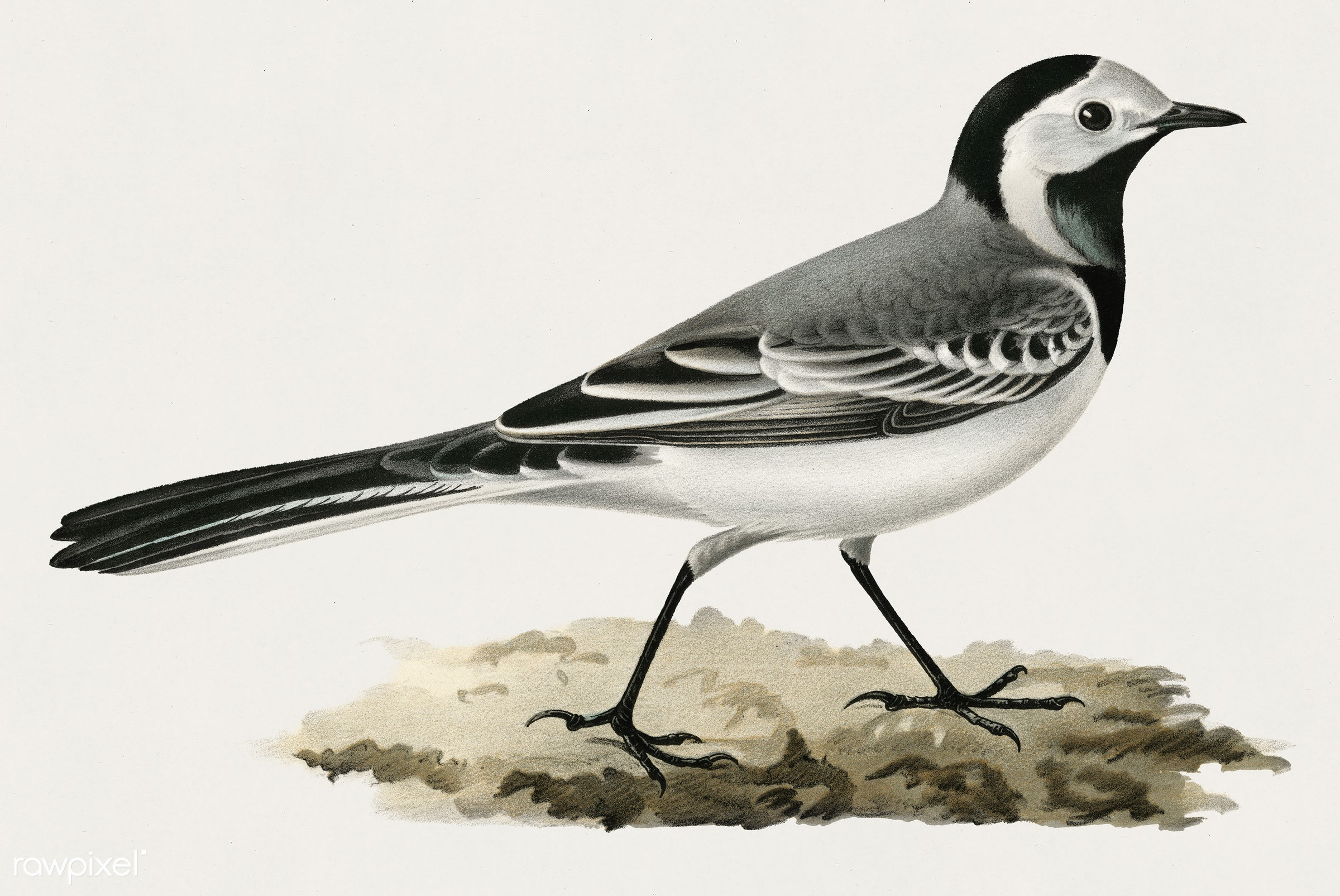 Pied Wagtai Male ♂ (MOTACILLA ALBA) illustrated by the von Wright brothers. Digitally enhanced from our own 1929 folio...